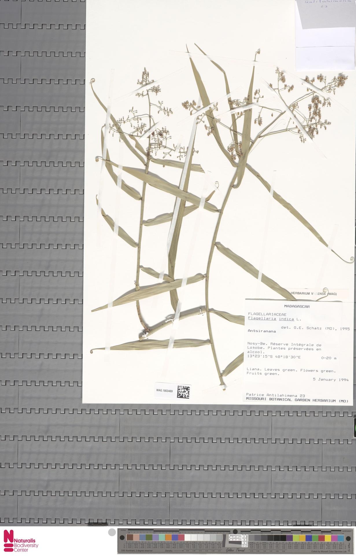 WAG.1803469 | Flagellaria indica L.