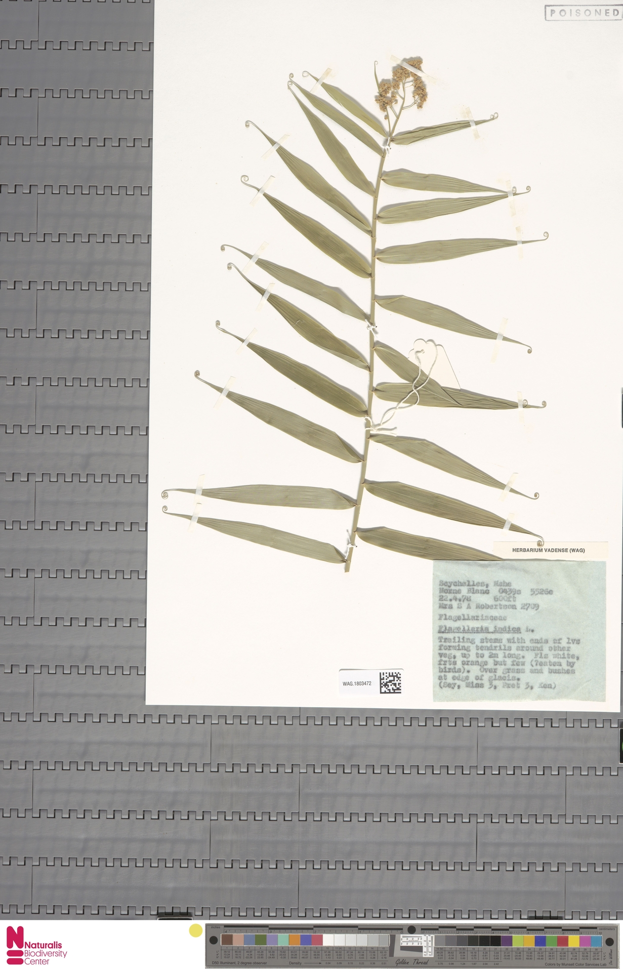 WAG.1803472 | Flagellaria indica L.