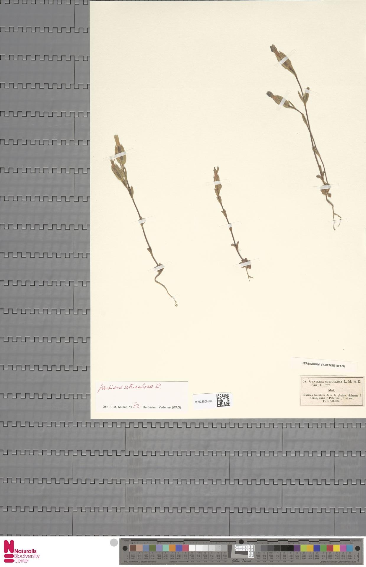 WAG.1806586   Gentiana utriculosa L.