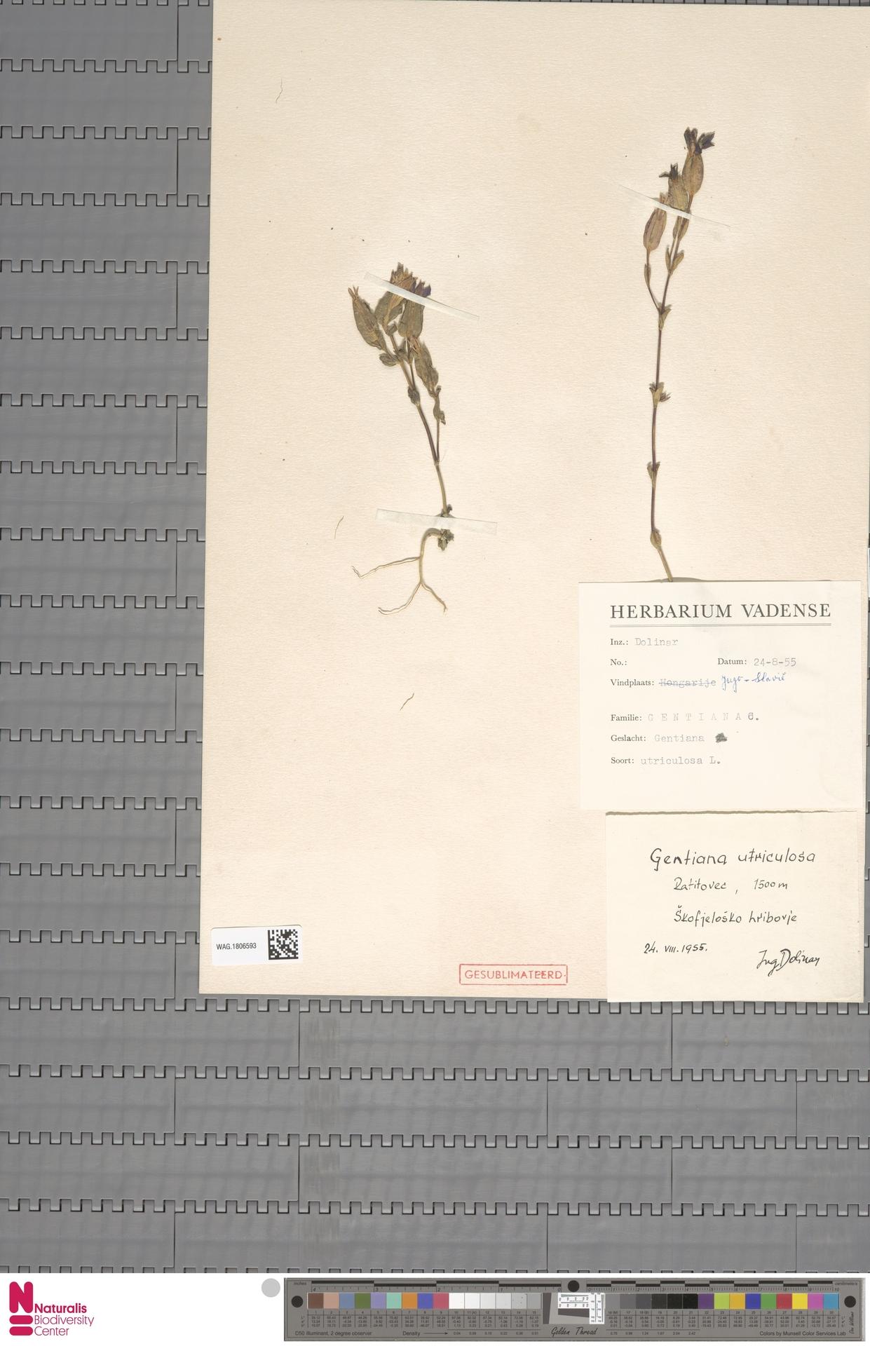 WAG.1806593 | Gentiana utriculosa L.