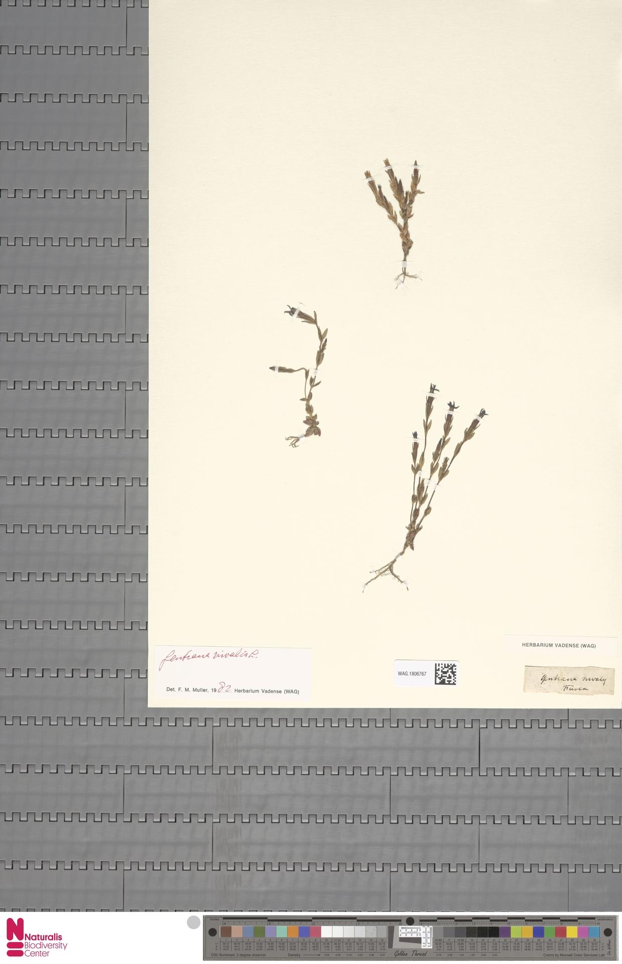 WAG.1806767 | Gentiana nivalis L.