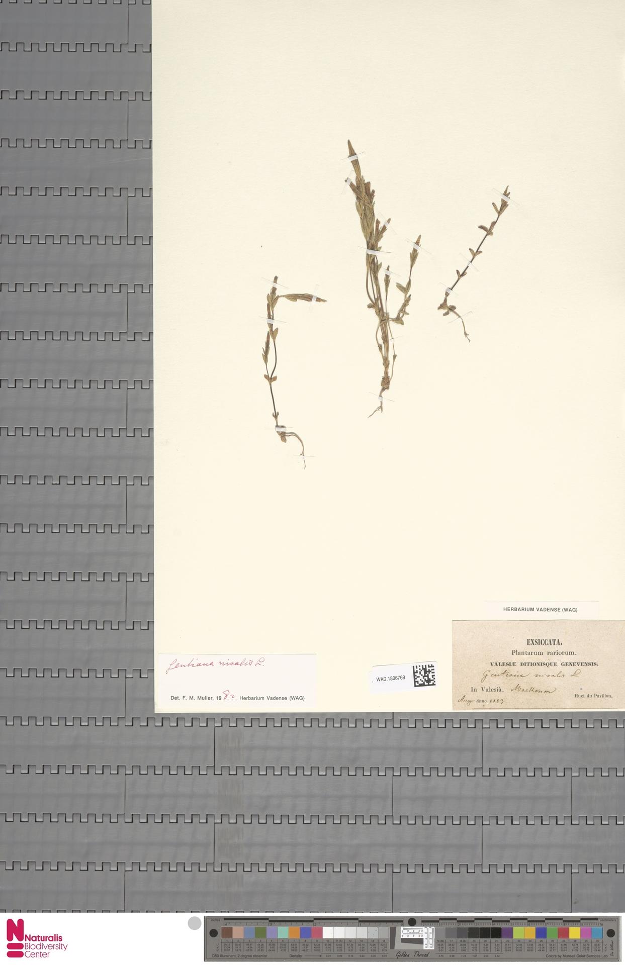 WAG.1806769 | Gentiana nivalis L.