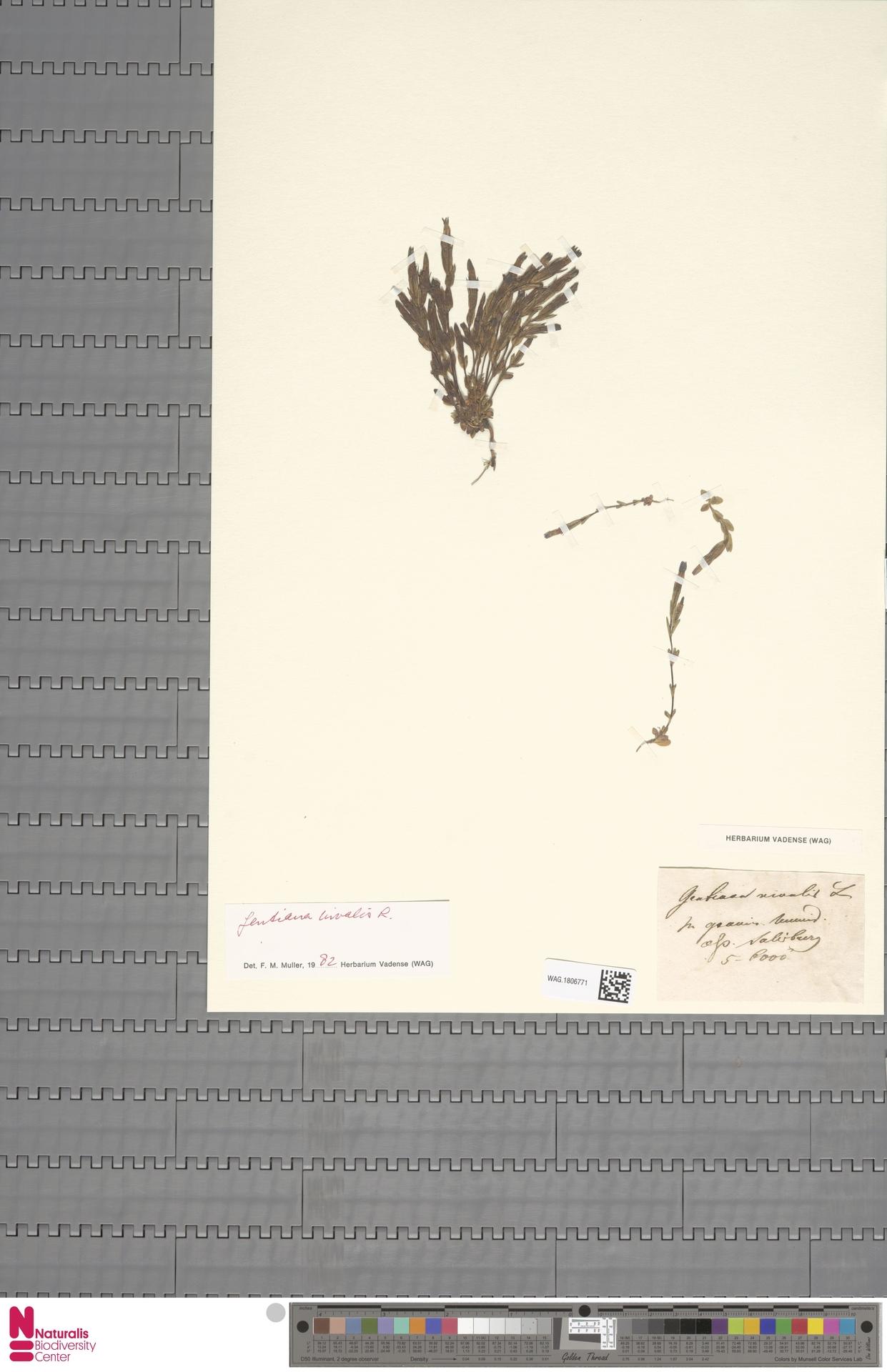 WAG.1806771   Gentiana nivalis L.
