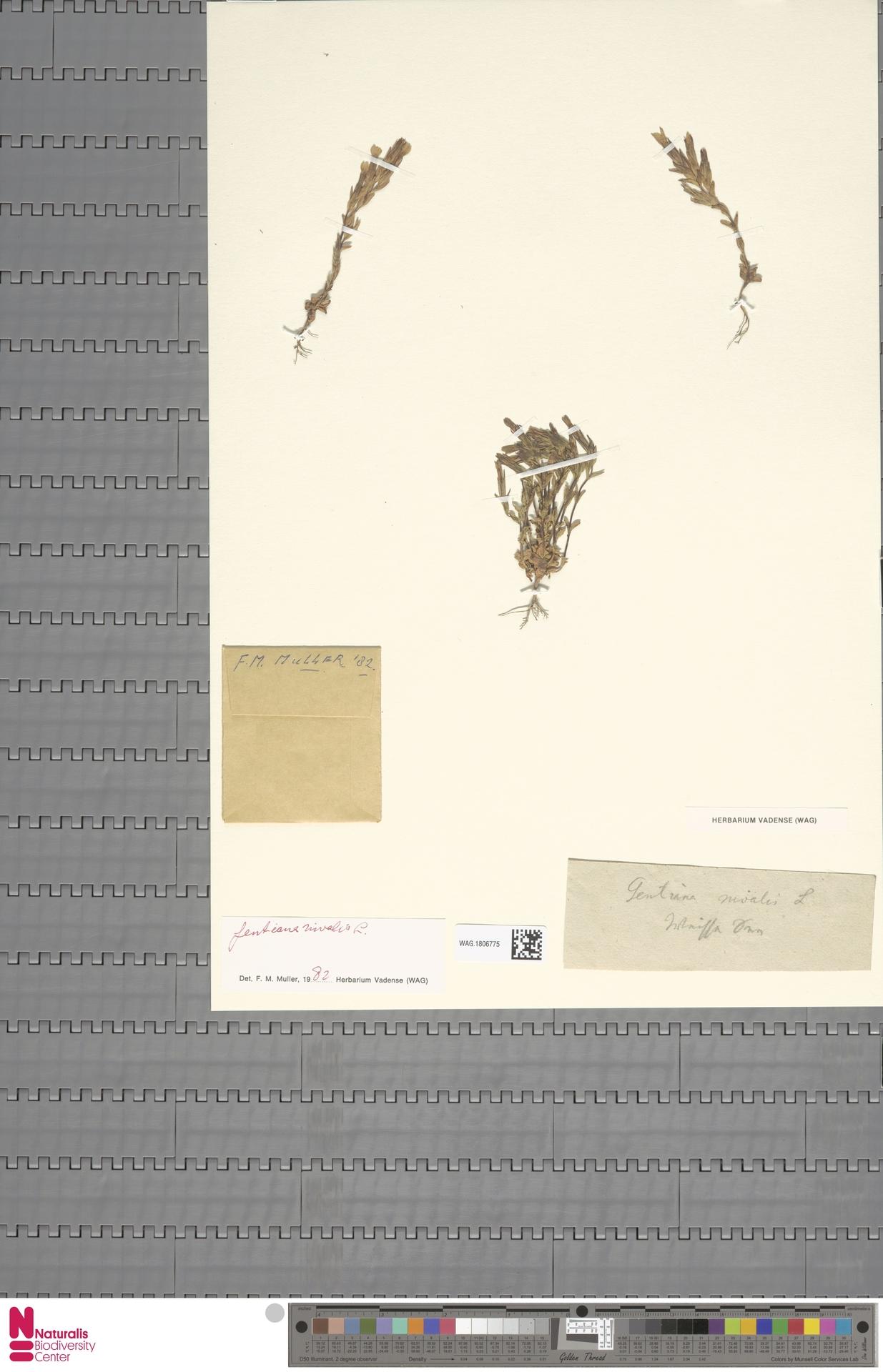 WAG.1806775 | Gentiana nivalis L.