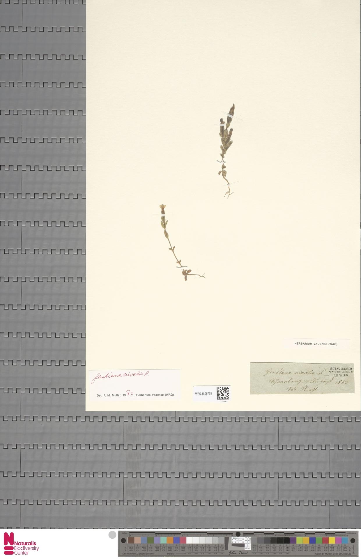 WAG.1806778 | Gentiana nivalis L.