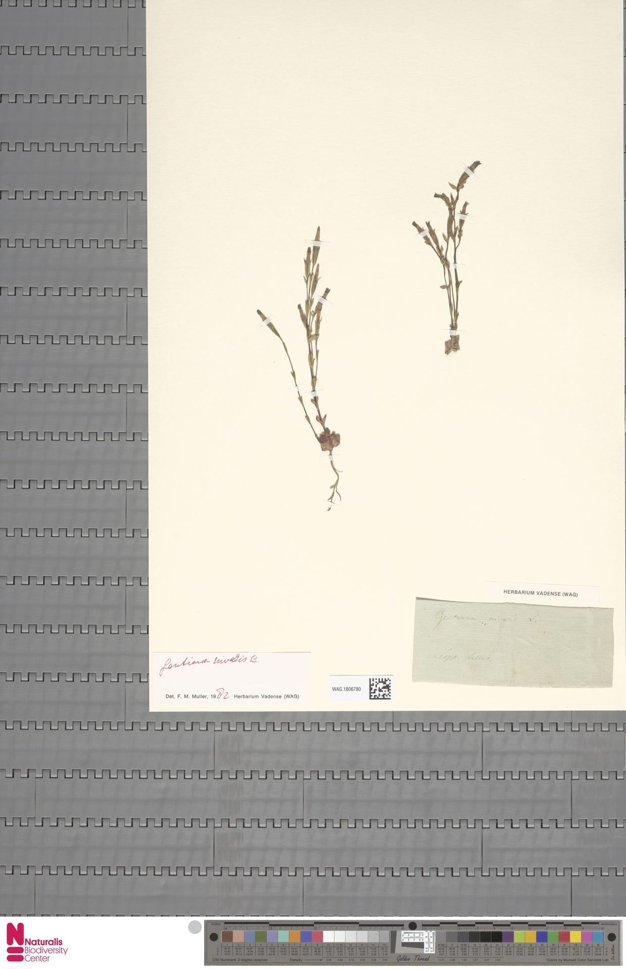 WAG.1806780 | Gentiana nivalis L.