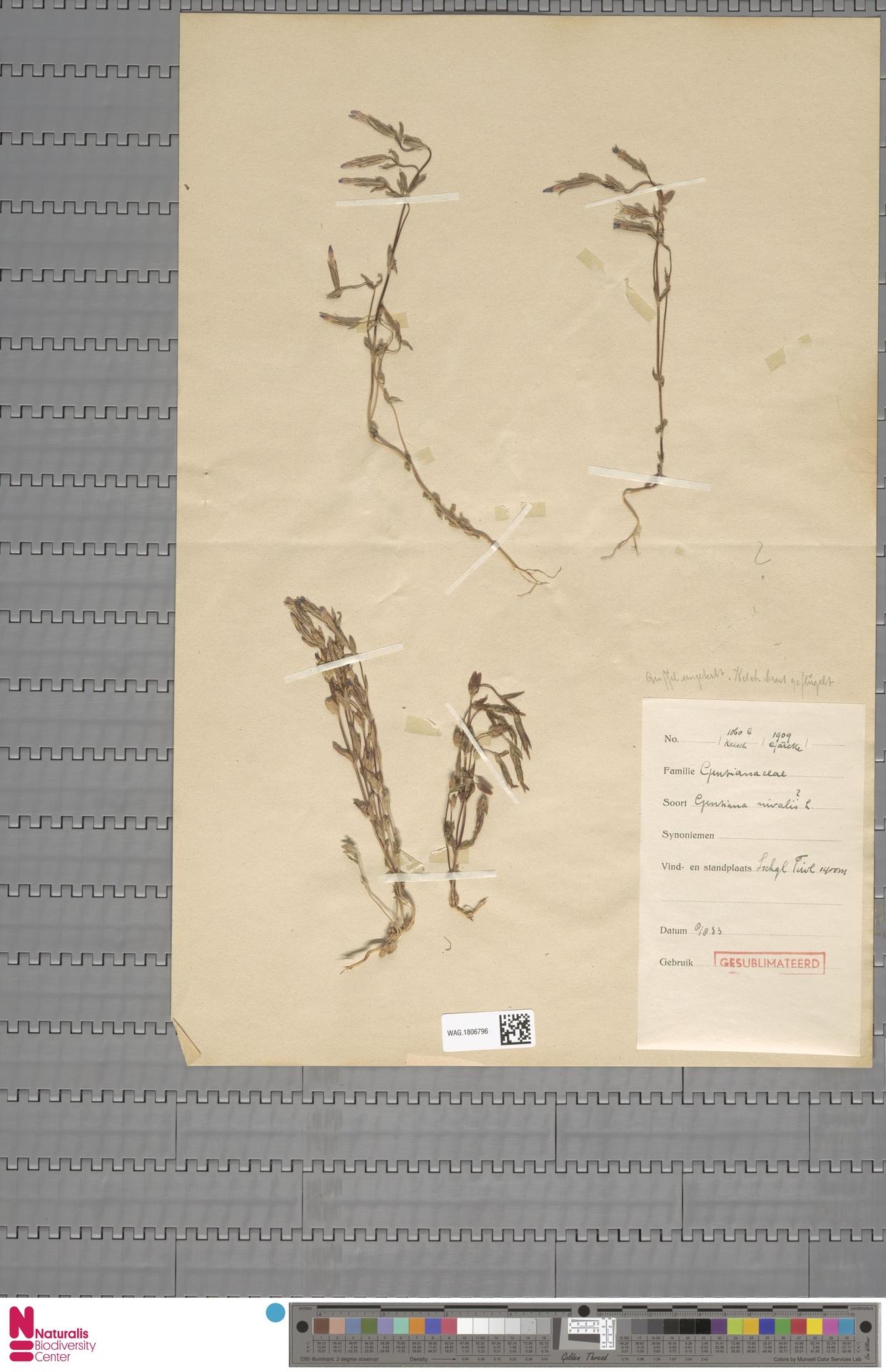 WAG.1806796   Gentiana nivalis L.