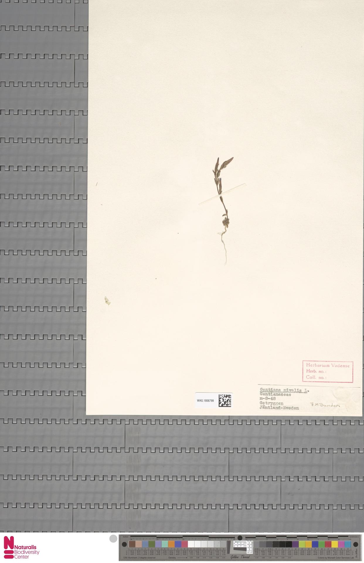 WAG.1806799 | Gentiana nivalis L.
