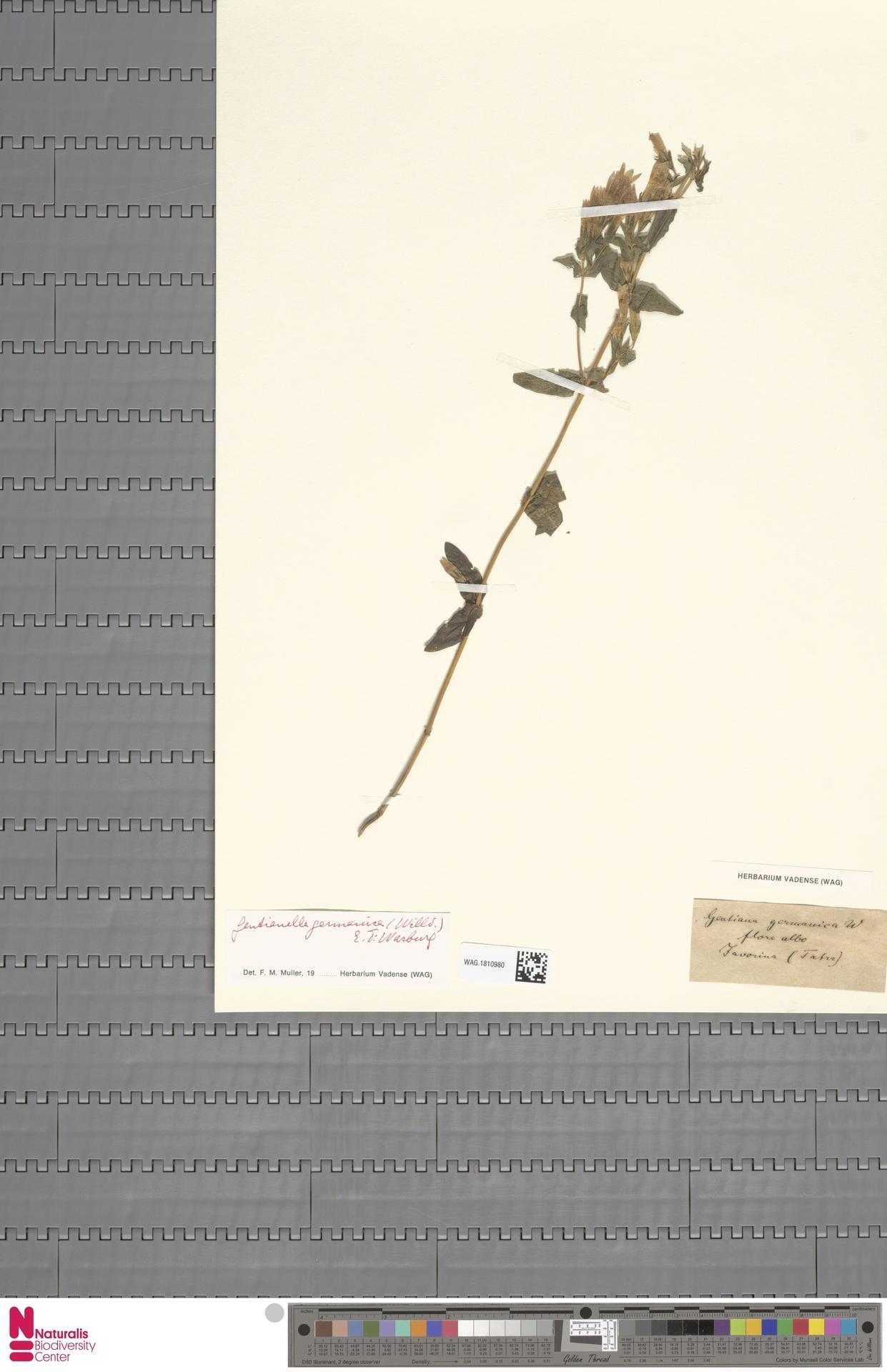 WAG.1810980   Gentianella germanica (Willd.) E.F.Warb.