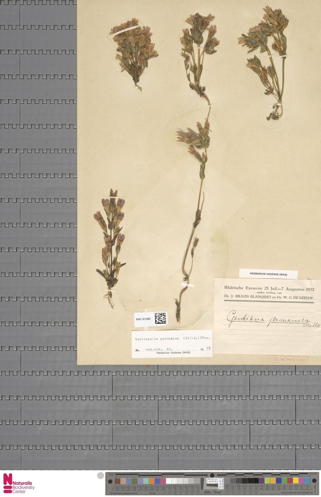 WAG.1810982 | Gentianella germanica (Willd.) E.F.Warb.