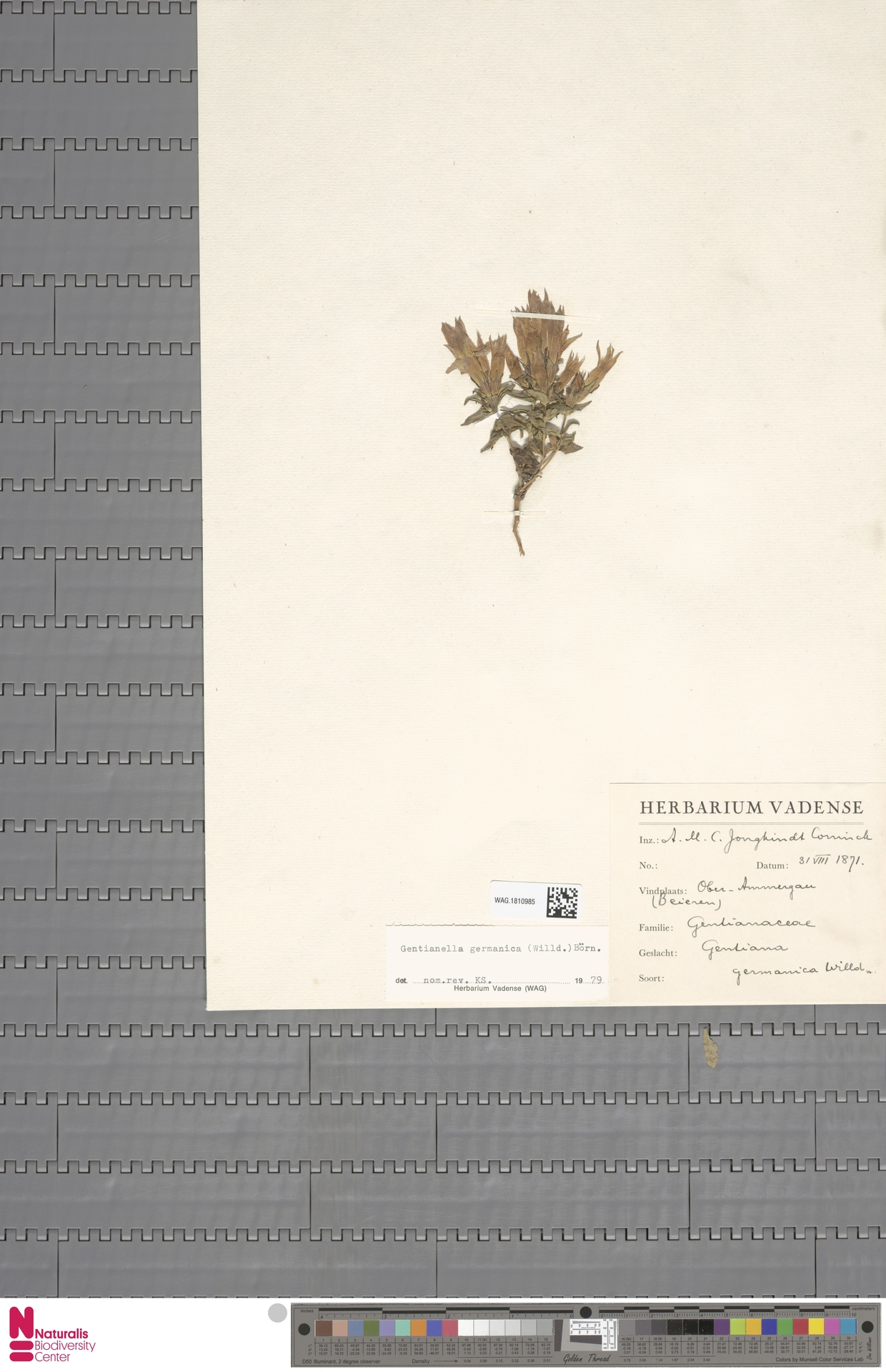 WAG.1810985 | Gentianella germanica (Willd.) E.F.Warb.