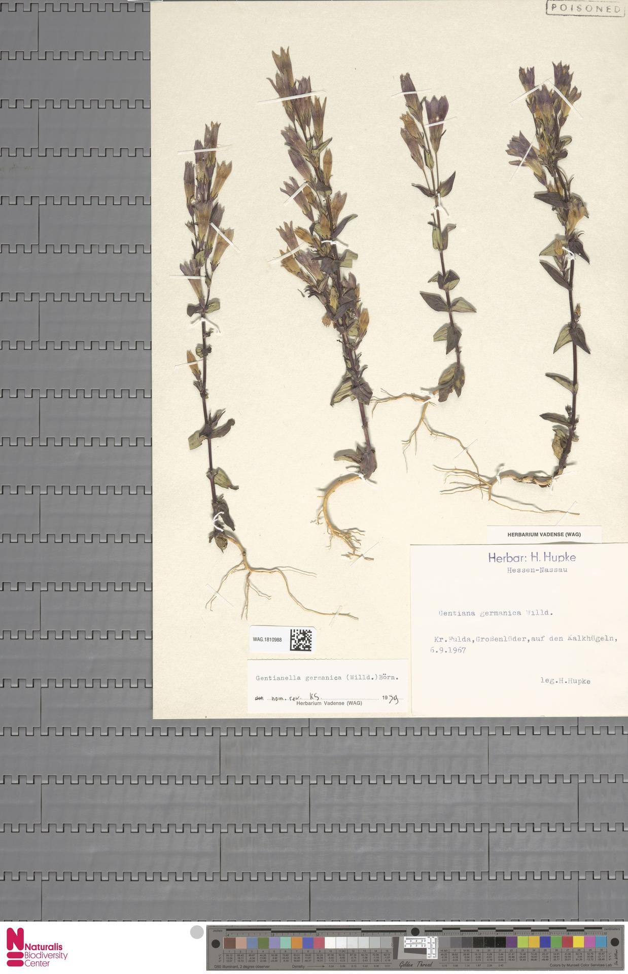 WAG.1810988   Gentianella germanica (Willd.) E.F.Warb.