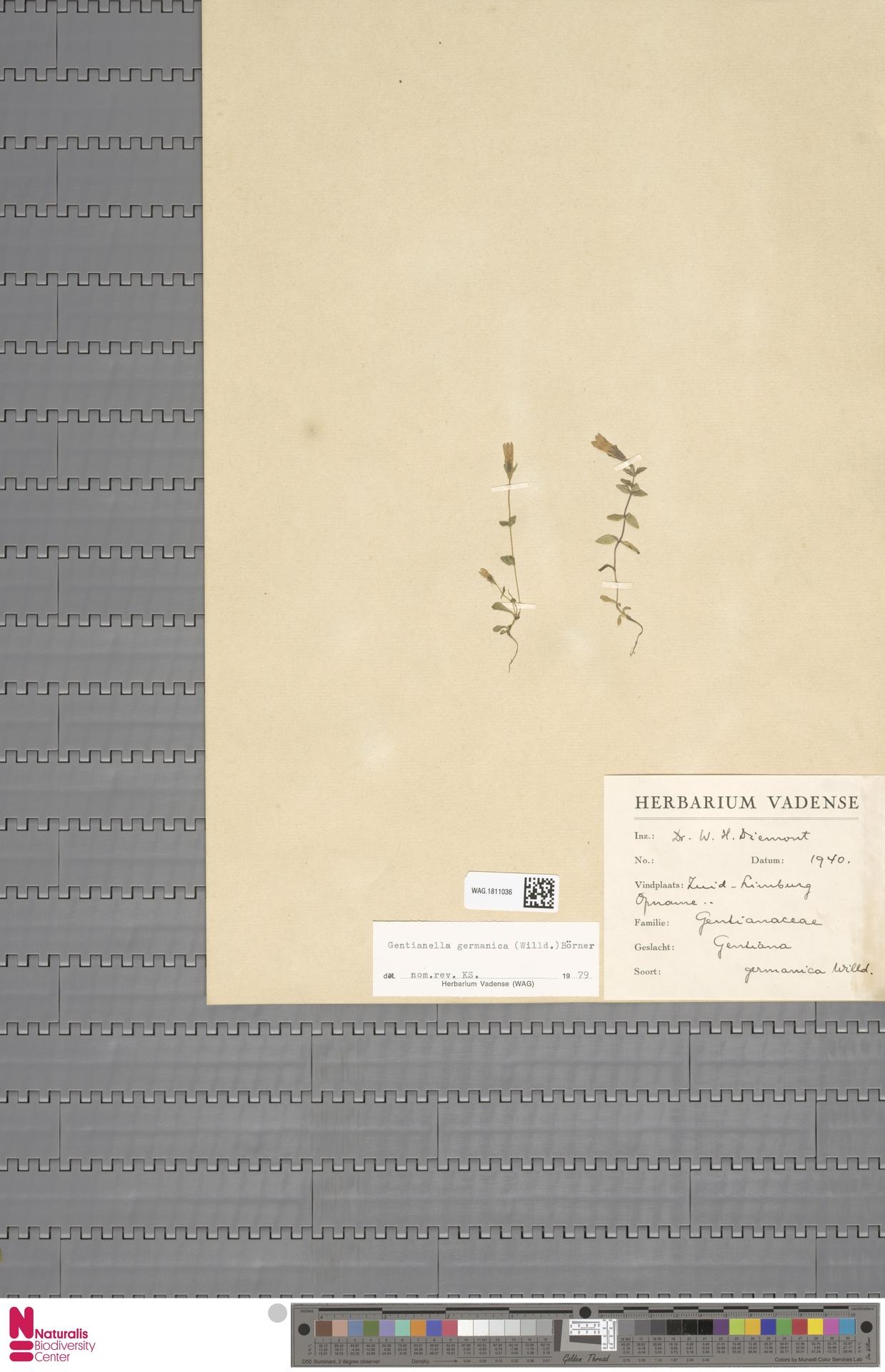 WAG.1811036 | Gentianella germanica (Willd.) E.F.Warb.