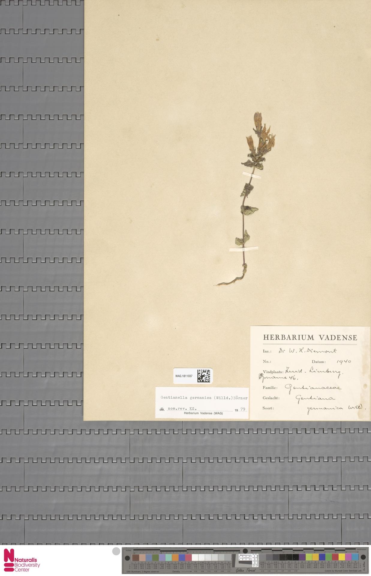WAG.1811037 | Gentianella germanica (Willd.) E.F.Warb.