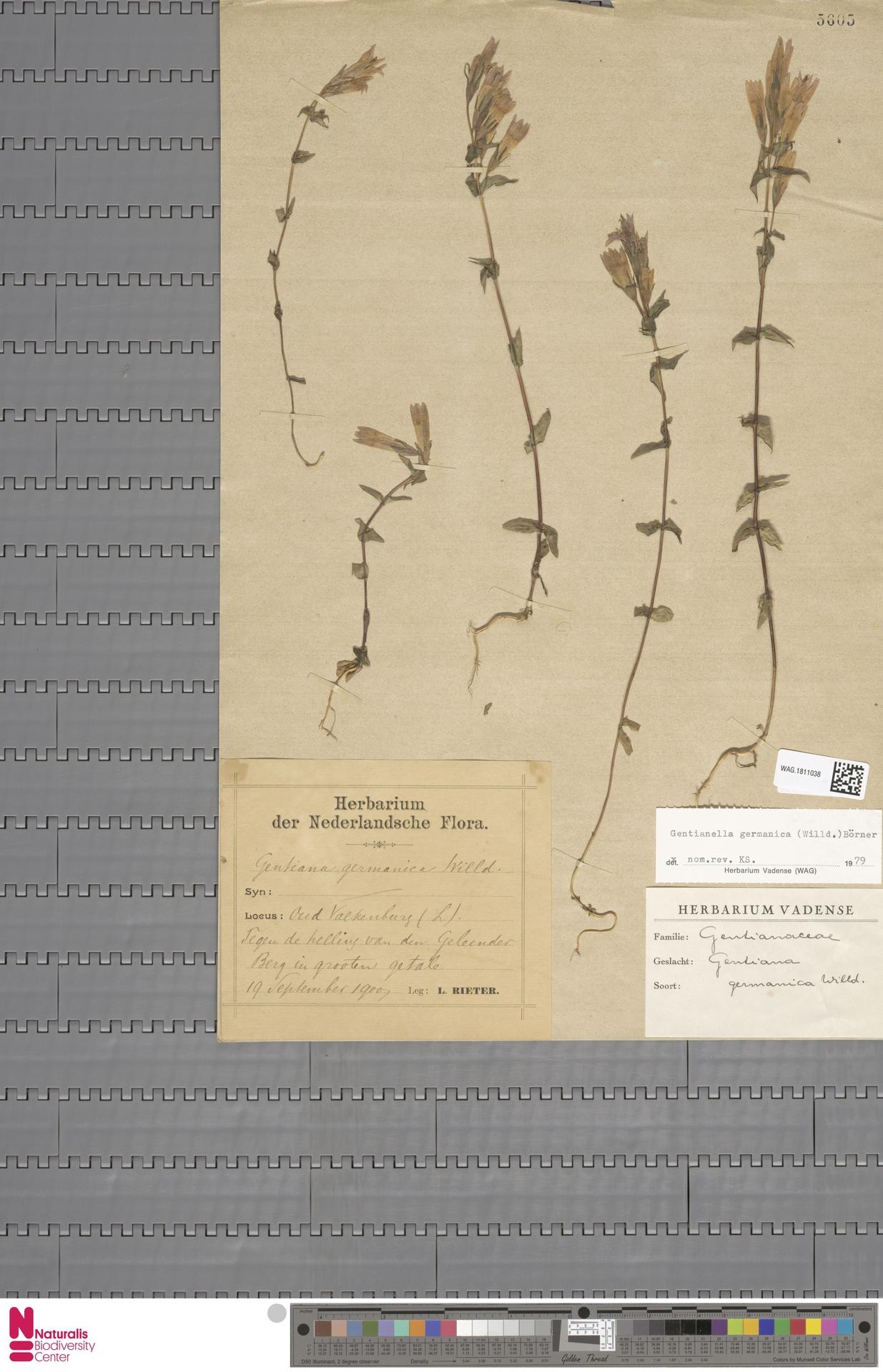 WAG.1811038 | Gentianella germanica (Willd.) E.F.Warb.
