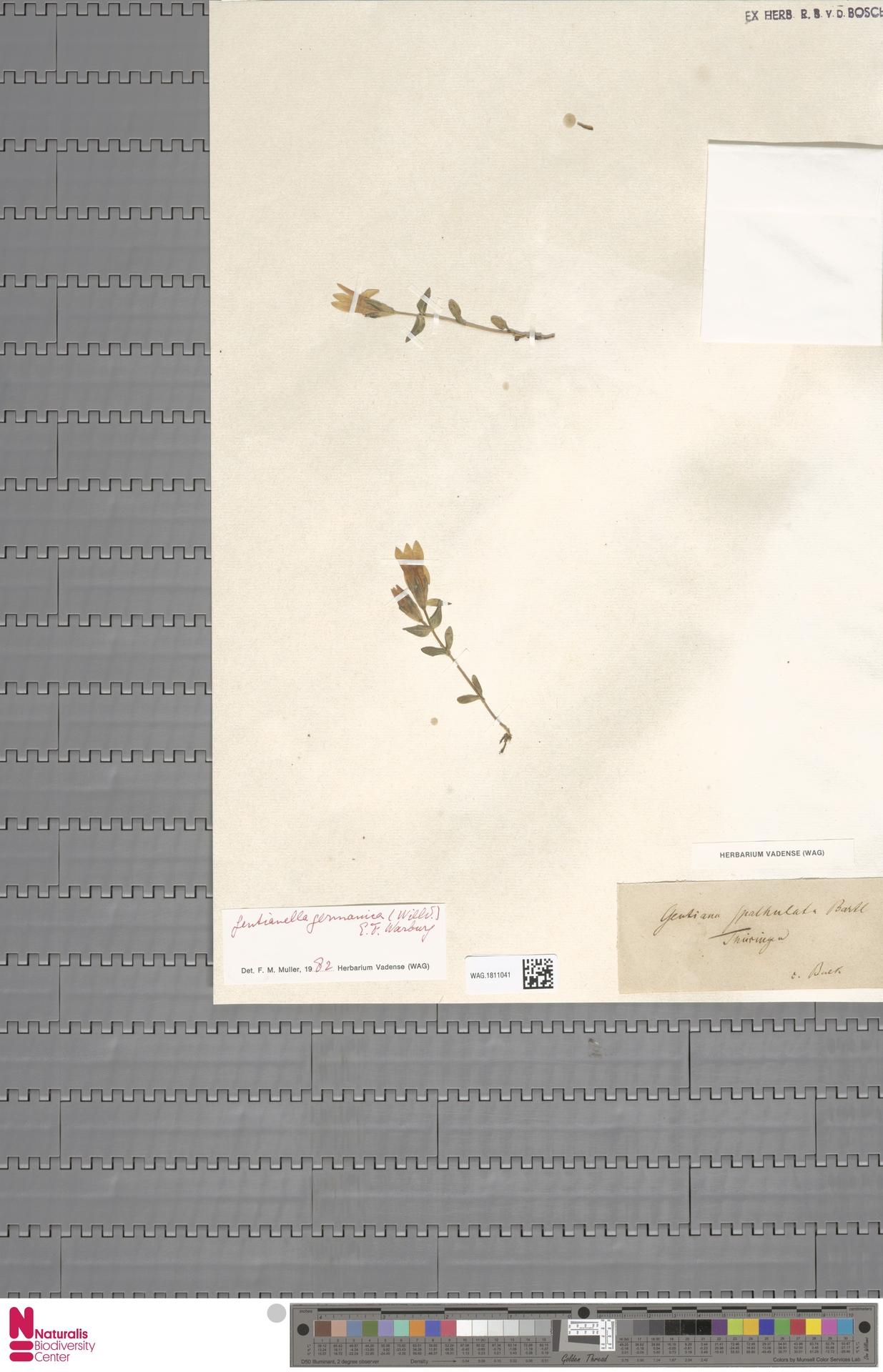 WAG.1811041   Gentianella germanica (Willd.) E.F.Warb.