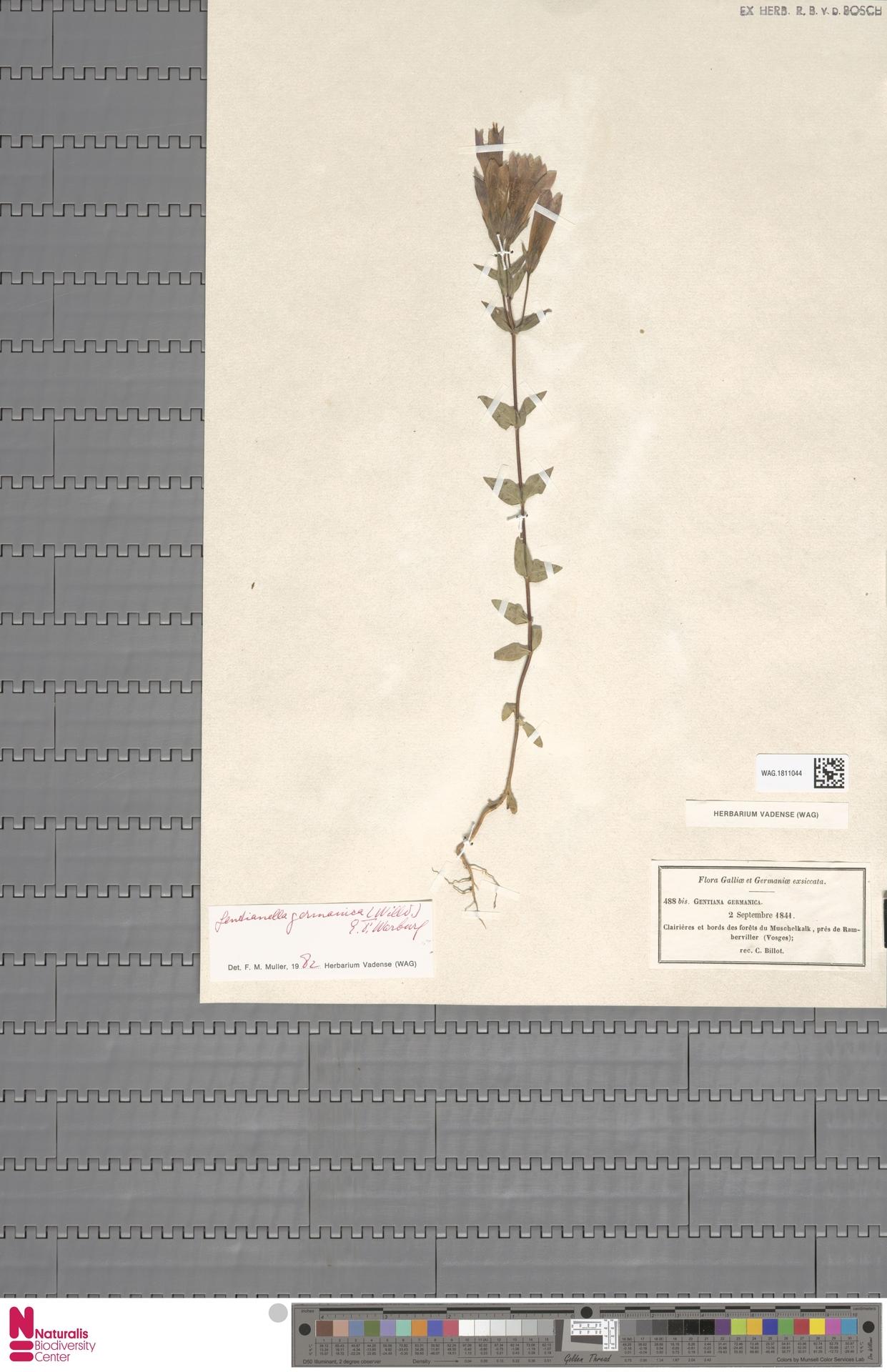 WAG.1811044   Gentianella germanica (Willd.) E.F.Warb.