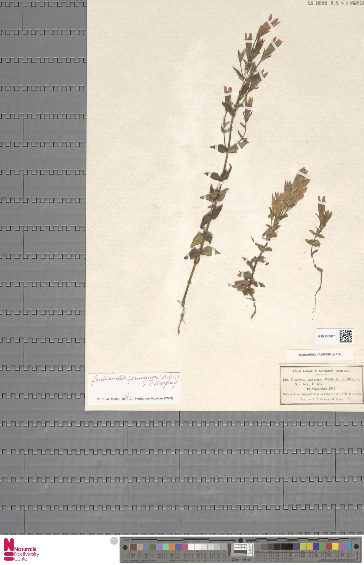 WAG.1811047 | Gentianella germanica (Willd.) E.F.Warb.