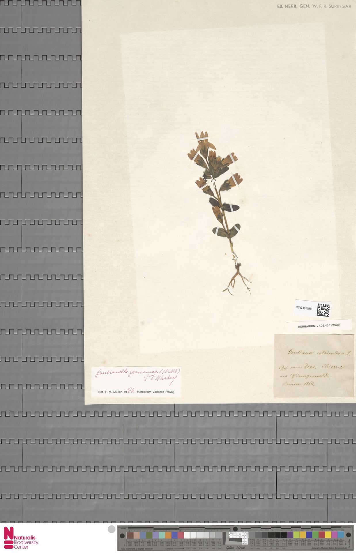 WAG.1811051   Gentianella germanica (Willd.) E.F.Warb.