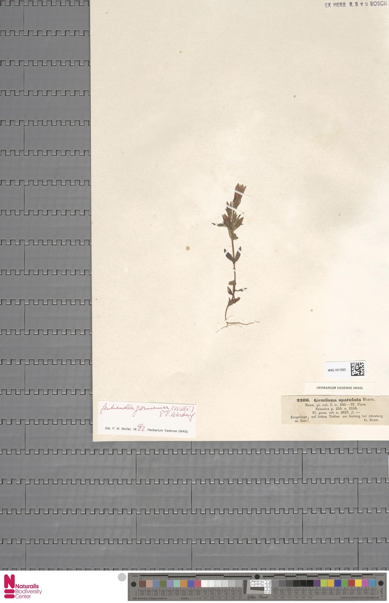 WAG.1811052 | Gentianella germanica (Willd.) E.F.Warb.