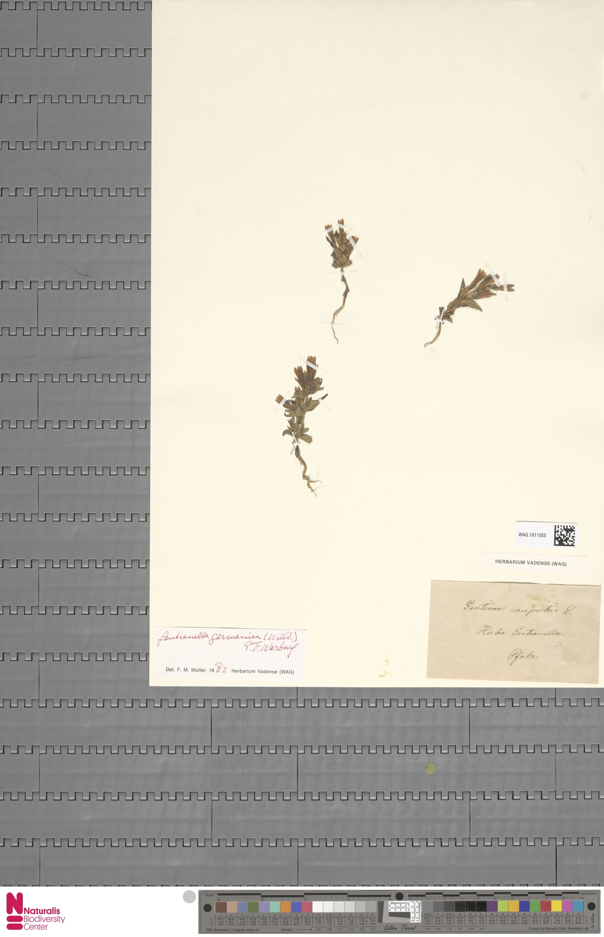 WAG.1811055 | Gentianella germanica (Willd.) E.F.Warb.