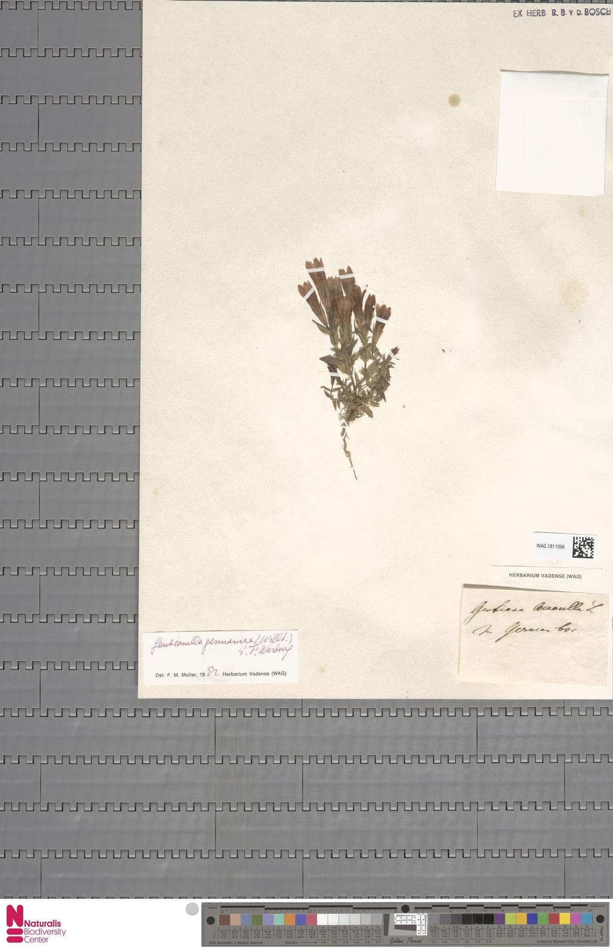 WAG.1811056 | Gentianella germanica (Willd.) E.F.Warb.
