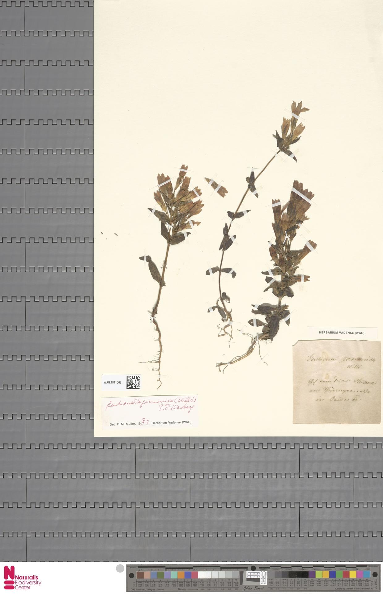 WAG.1811062 | Gentianella germanica (Willd.) E.F.Warb.