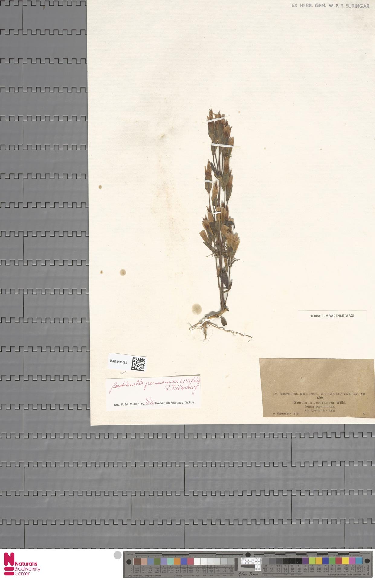 WAG.1811063 | Gentianella germanica (Willd.) E.F.Warb.