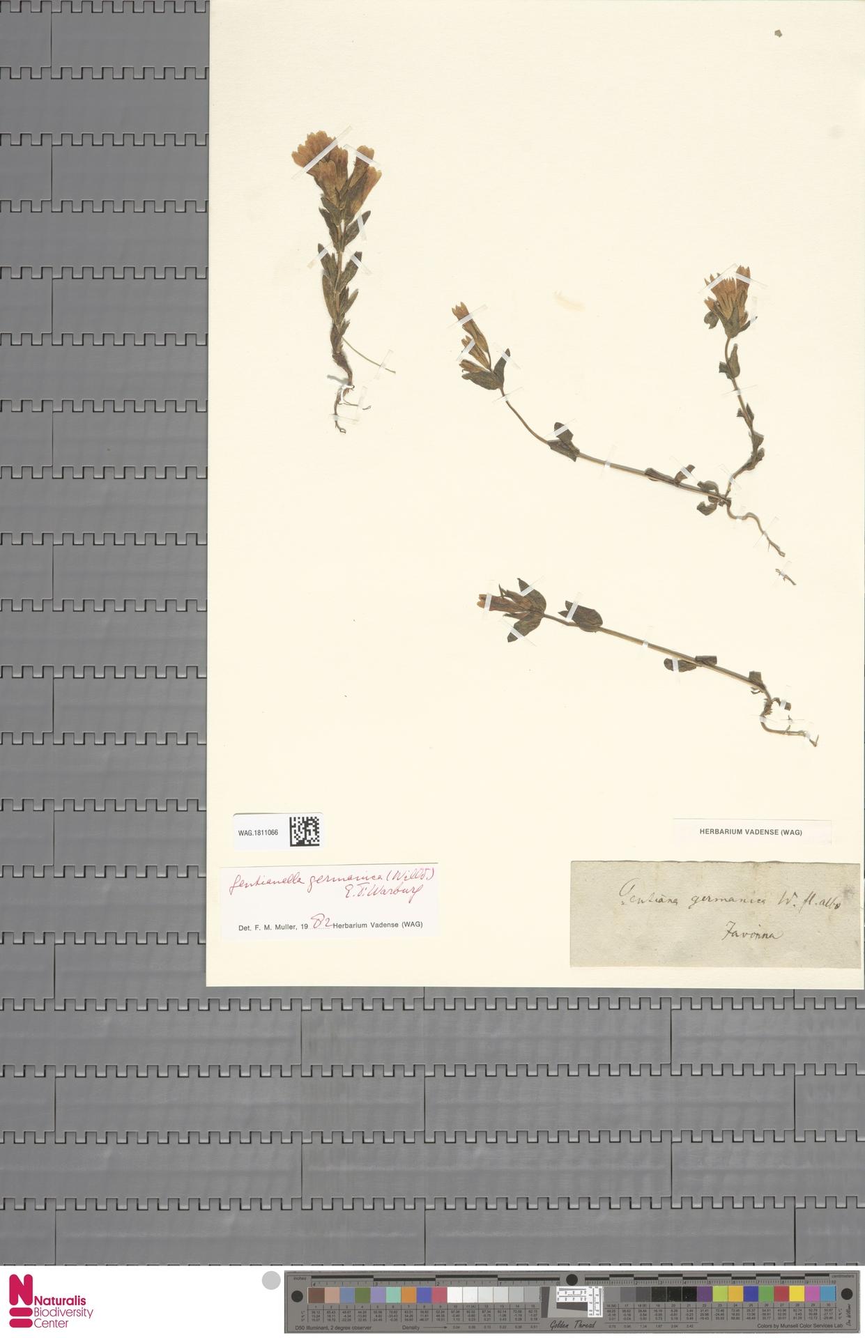WAG.1811066 | Gentianella germanica (Willd.) E.F.Warb.