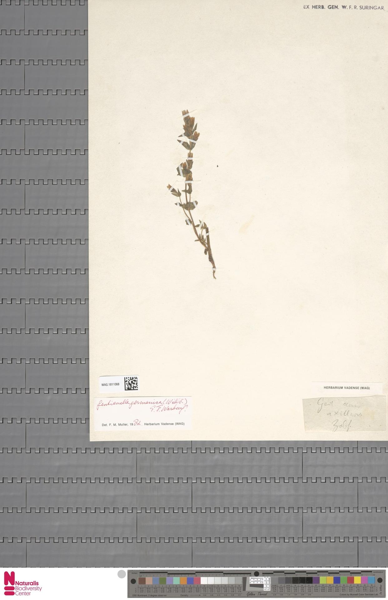 WAG.1811068 | Gentianella germanica (Willd.) E.F.Warb.