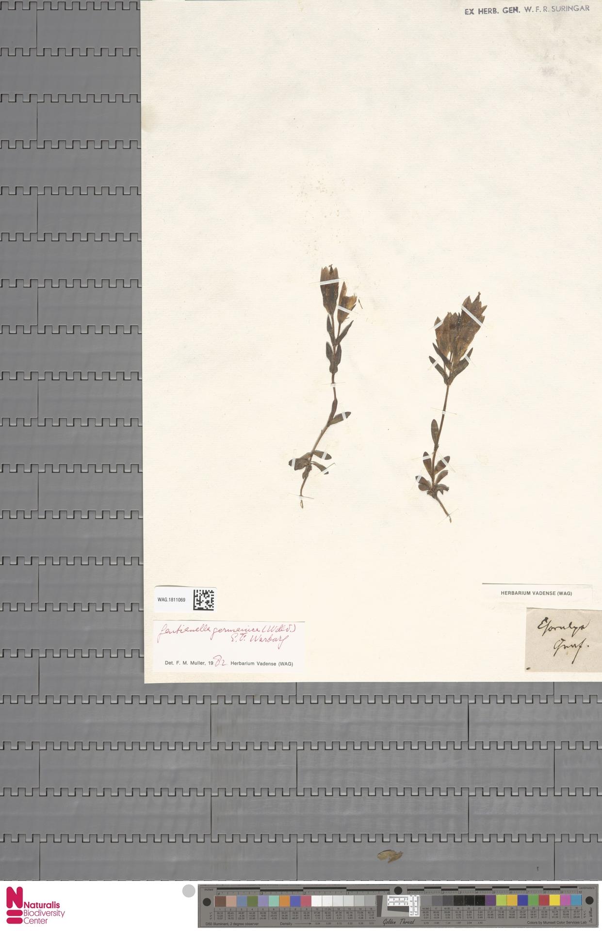 WAG.1811069   Gentianella germanica (Willd.) E.F.Warb.