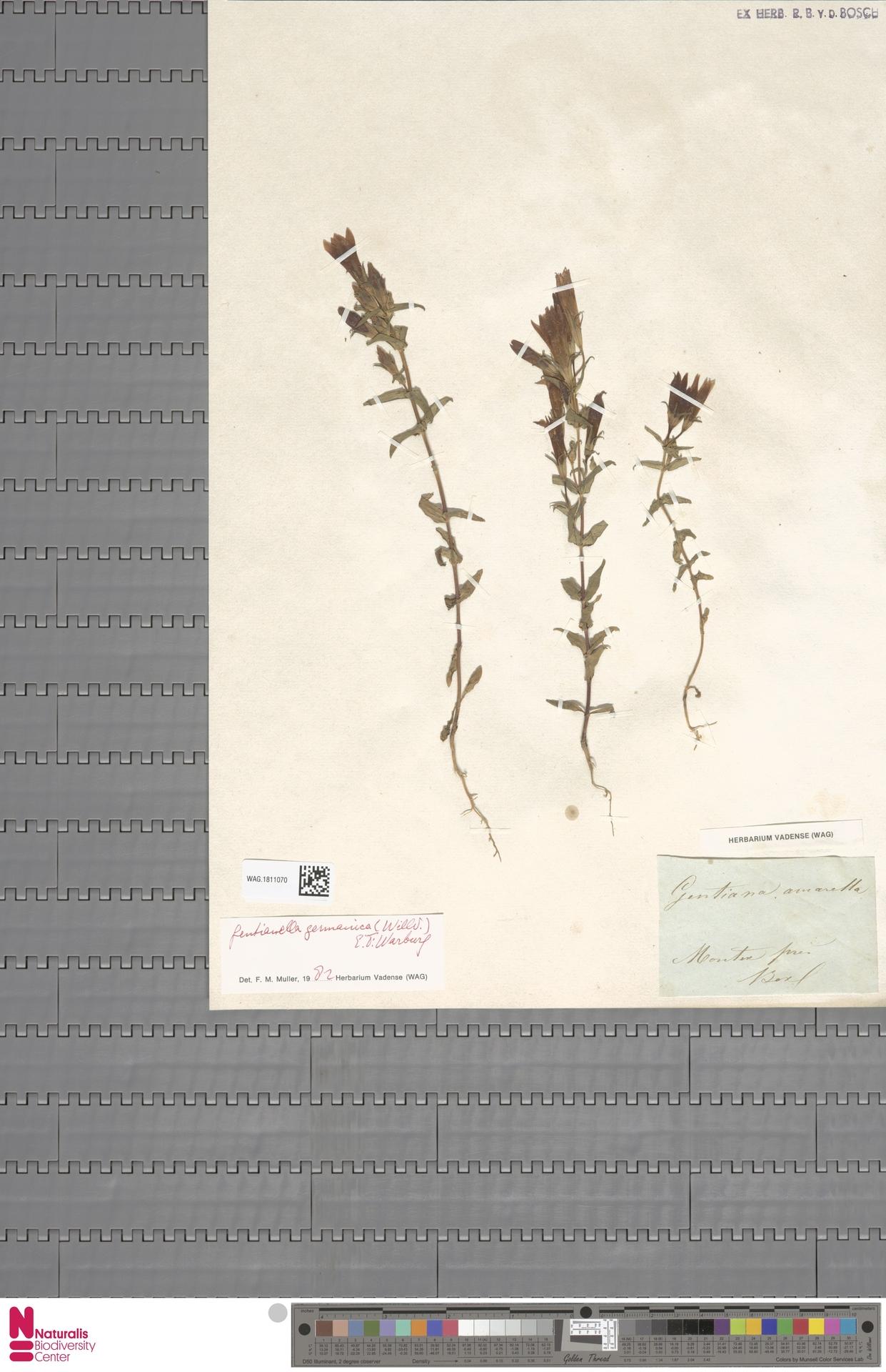 WAG.1811070 | Gentianella germanica (Willd.) E.F.Warb.