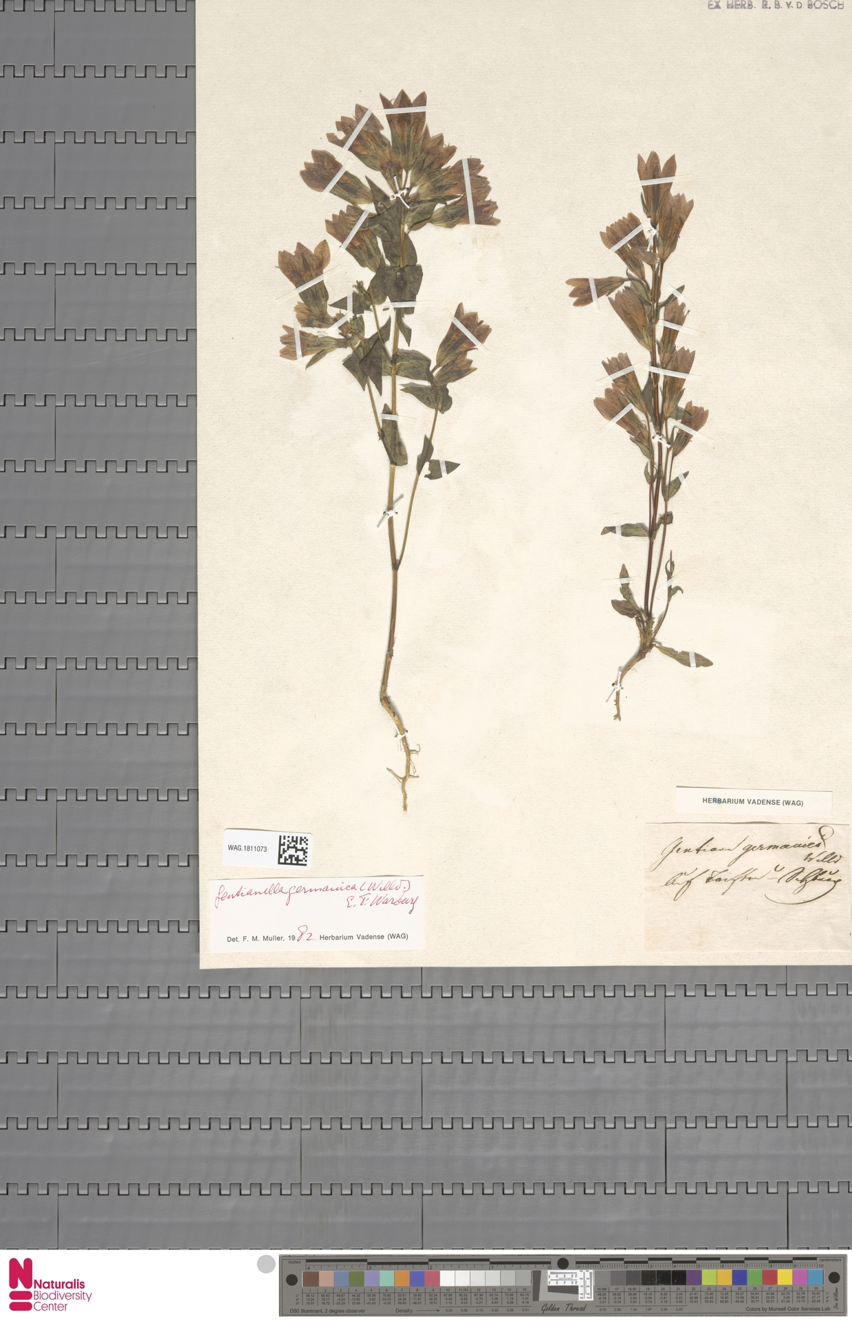 WAG.1811073 | Gentianella germanica (Willd.) E.F.Warb.