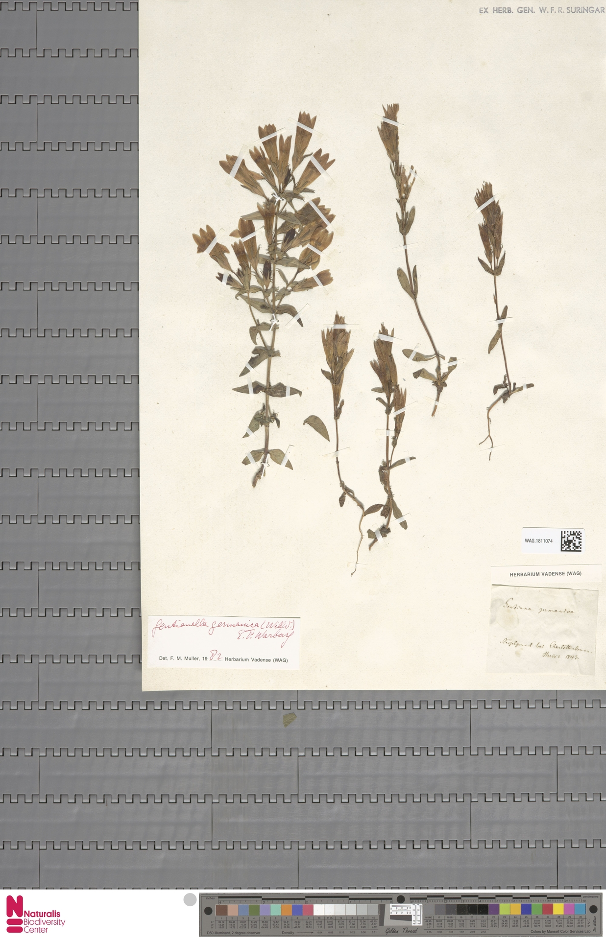 WAG.1811074 | Gentianella germanica (Willd.) E.F.Warb.