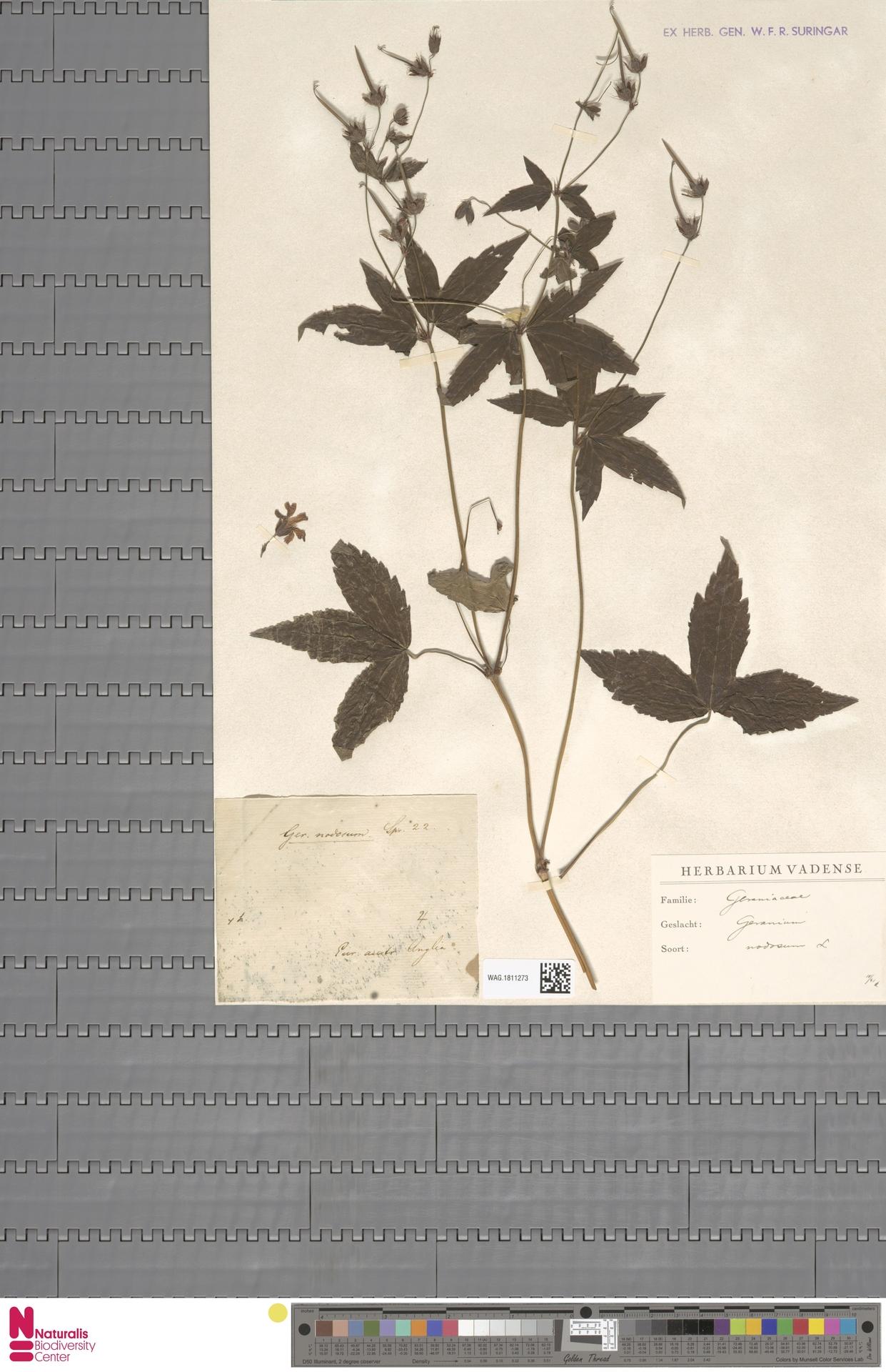 WAG.1811273 | Geranium nodosum L.