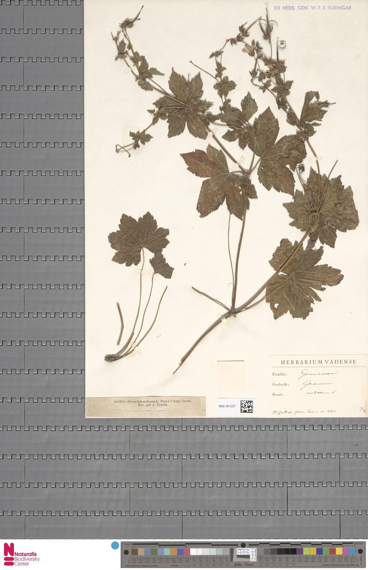 WAG.1811277   Geranium nodosum L.