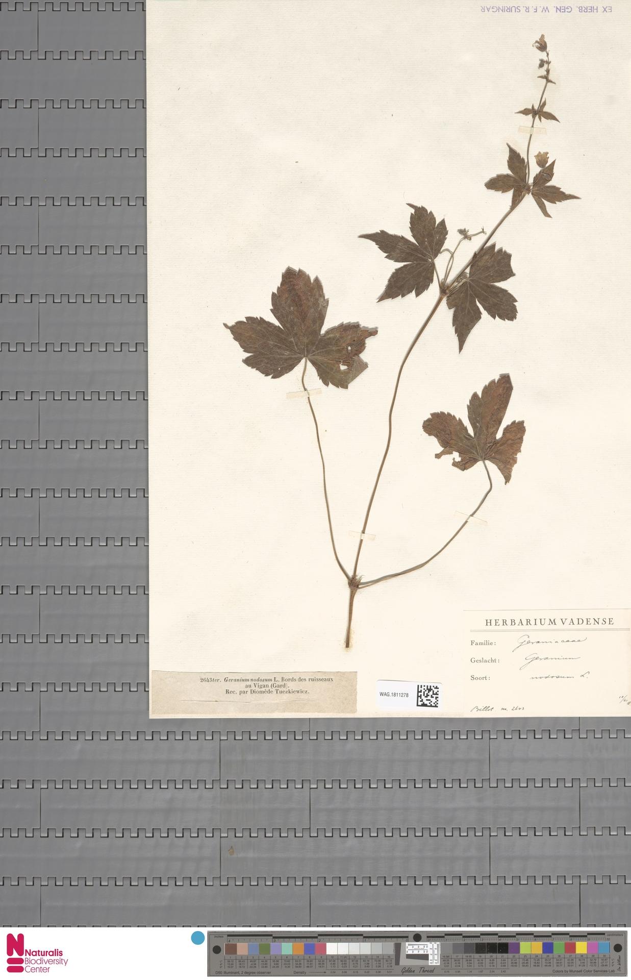 WAG.1811278 | Geranium nodosum L.
