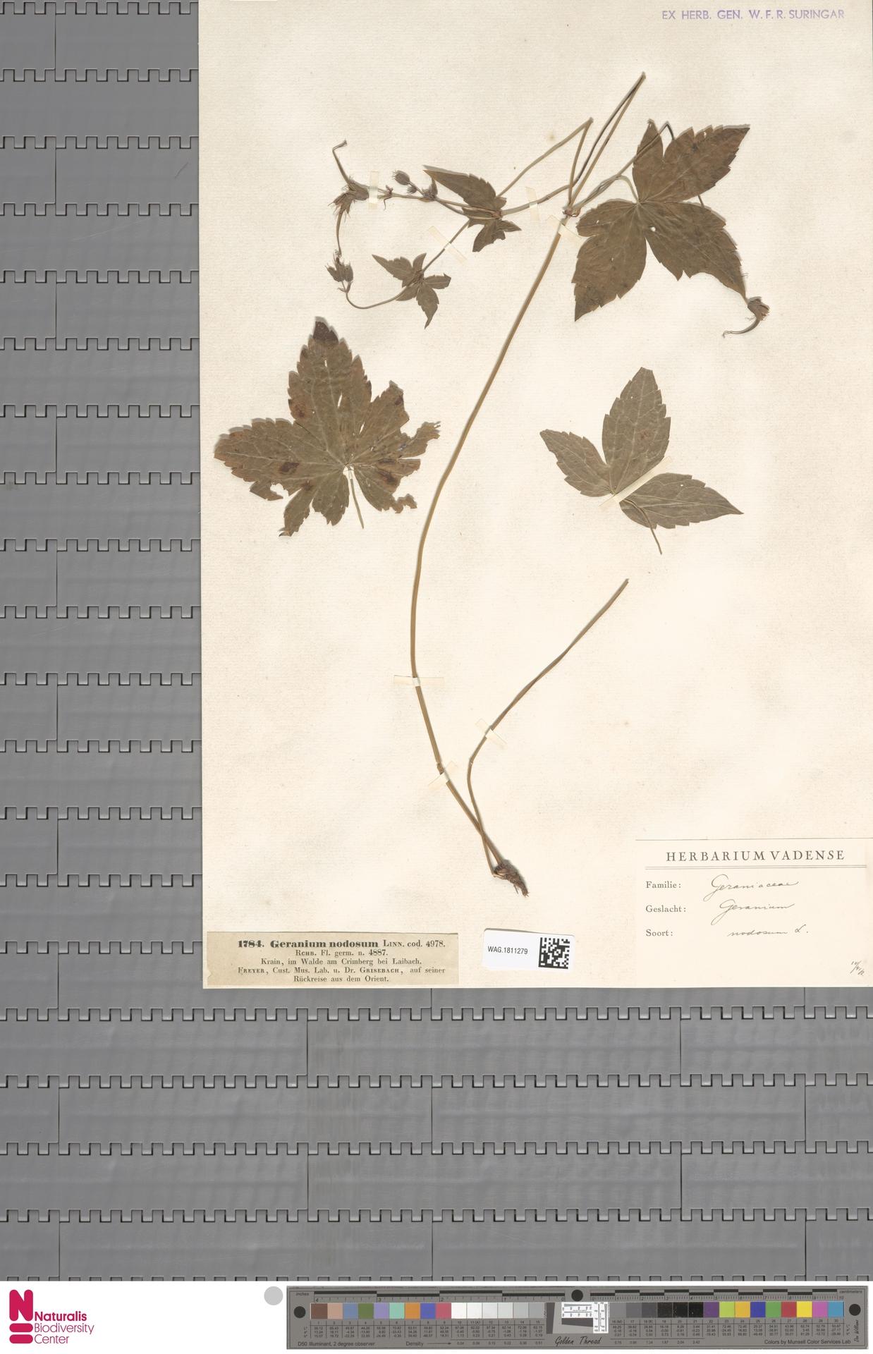 WAG.1811279 | Geranium nodosum L.