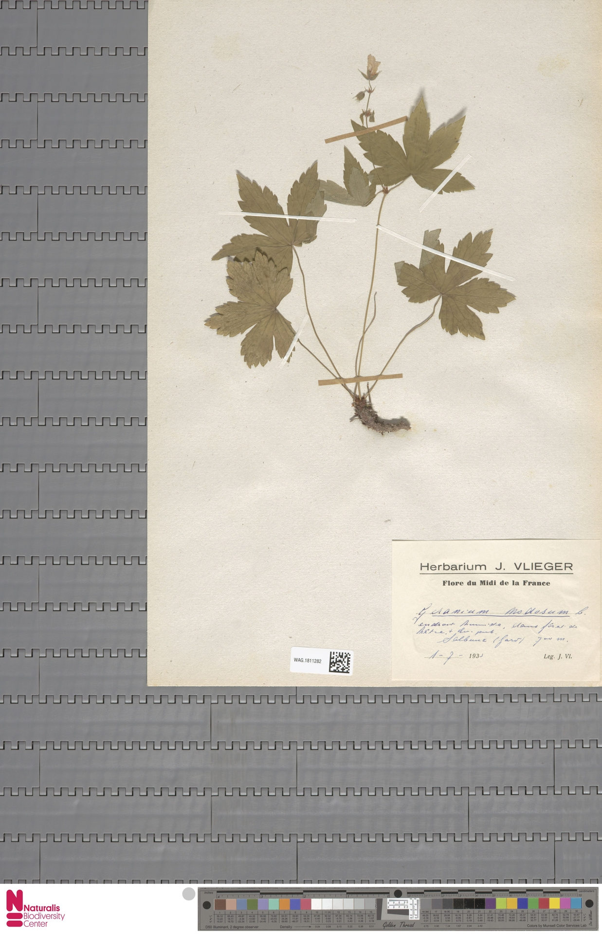 WAG.1811282   Geranium nodosum L.