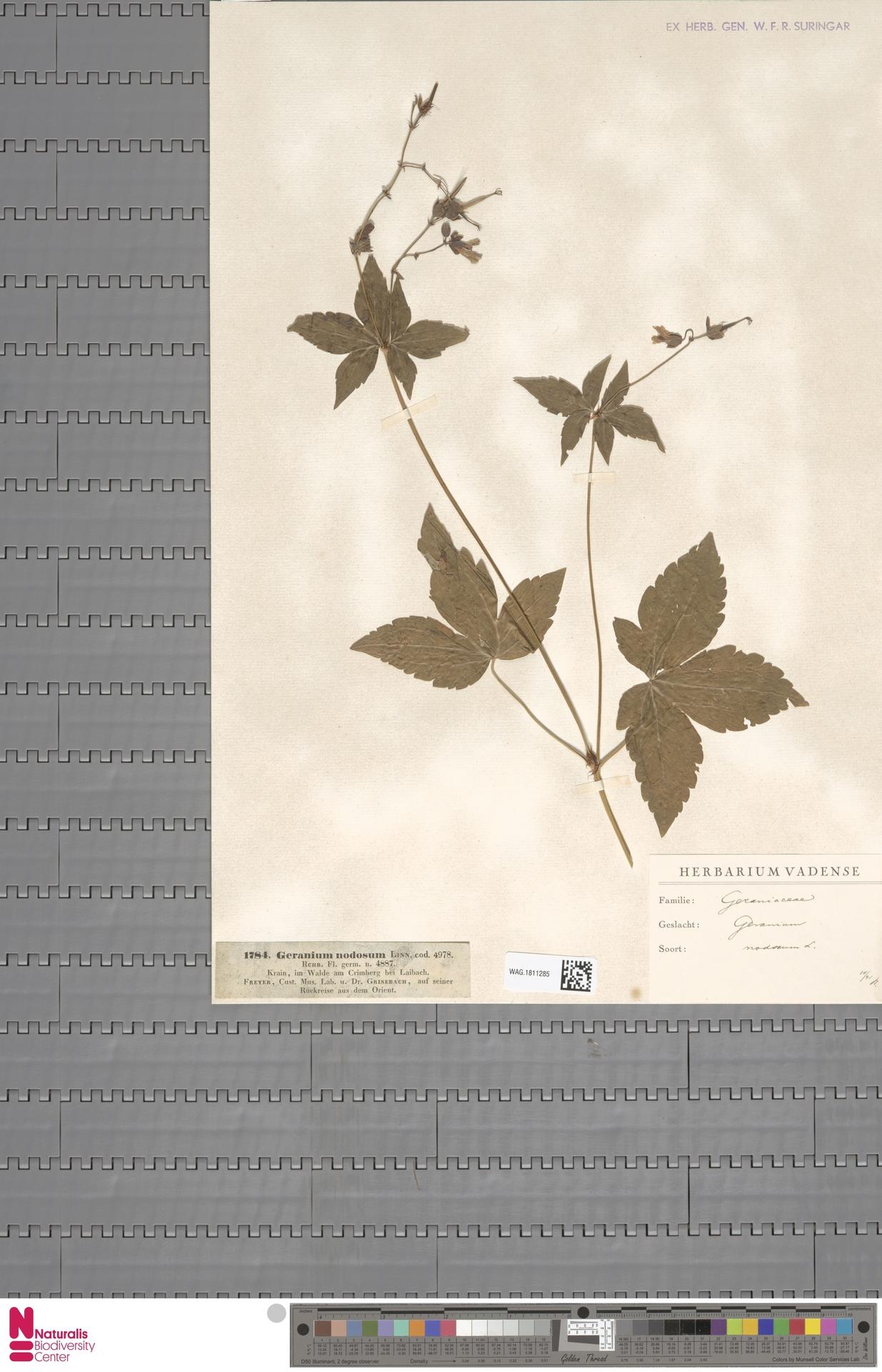 WAG.1811285 | Geranium nodosum L.