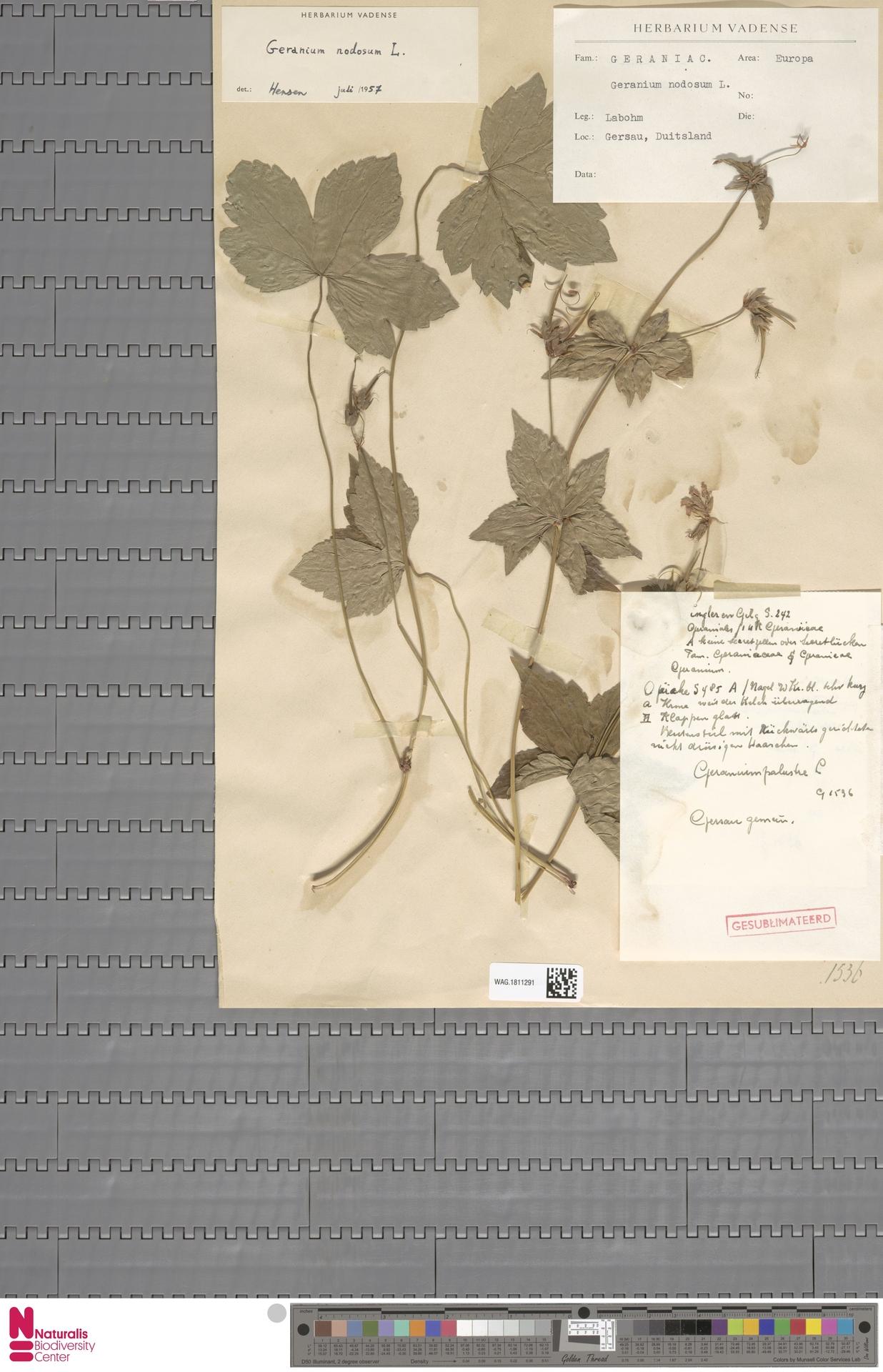 WAG.1811291 | Geranium nodosum L.