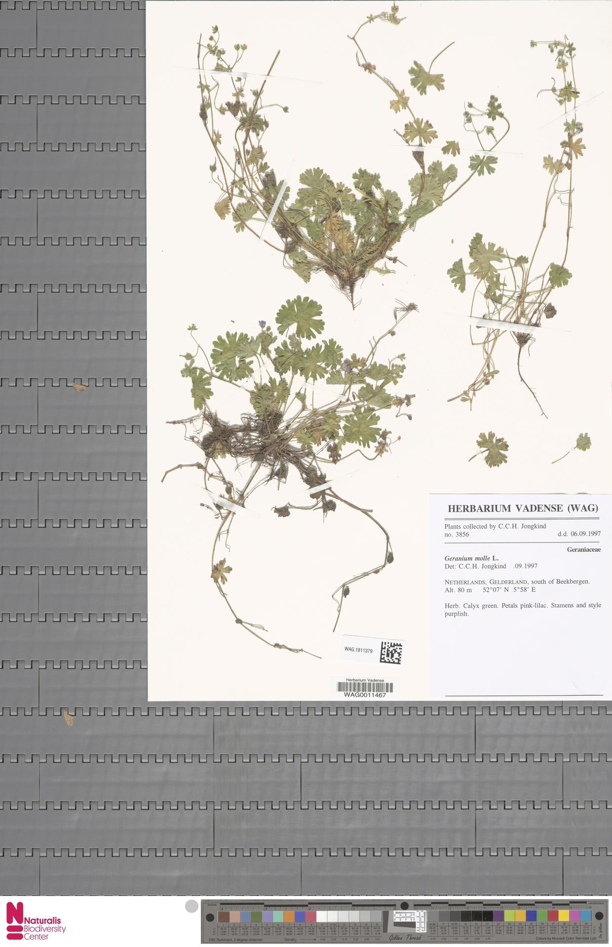 WAG.1811379 | Geranium molle L.