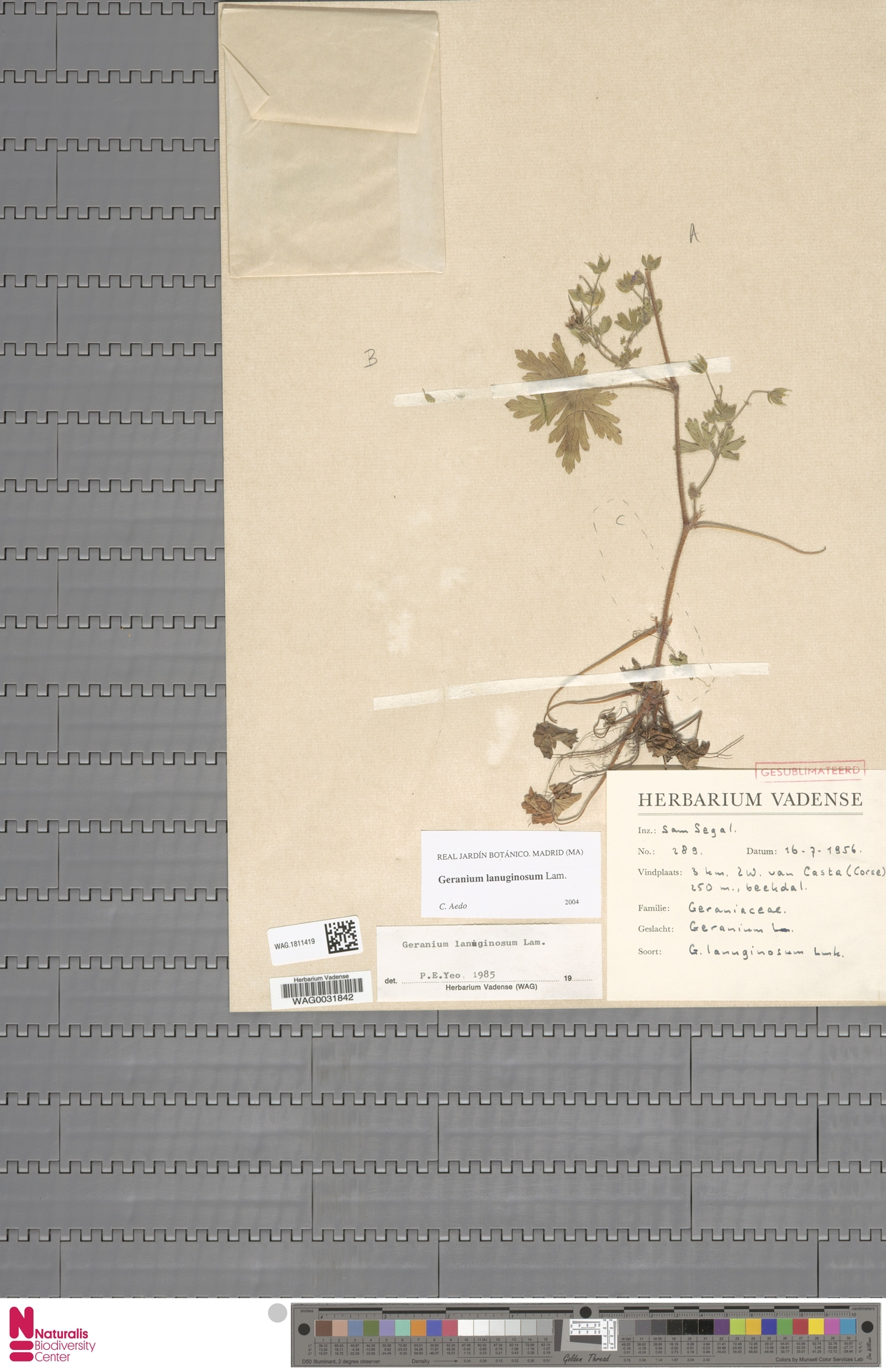 WAG.1811419 | Geranium rotundifolium L.