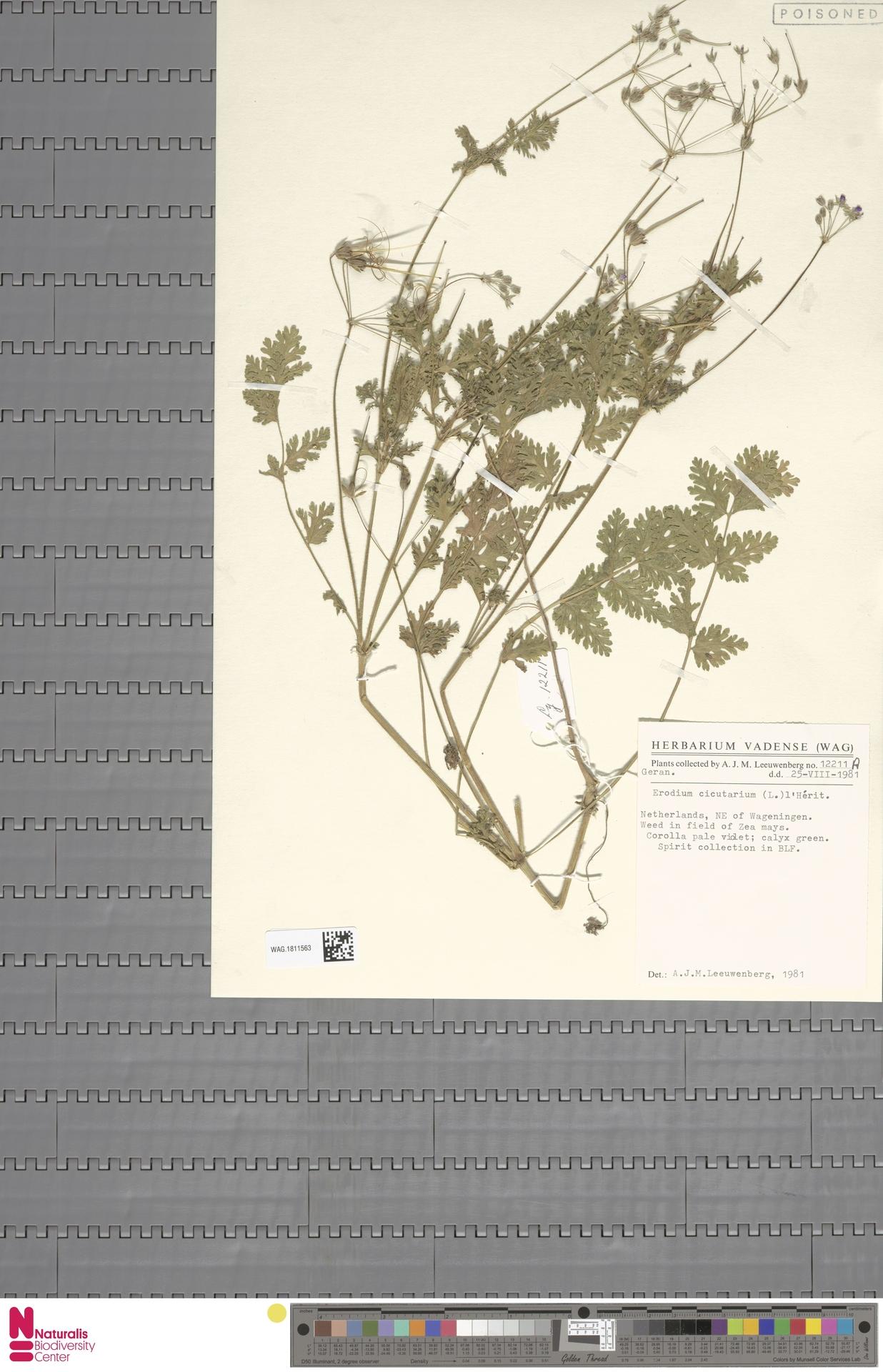 WAG.1811563 | Erodium cicutarium (L.) L'Hér.