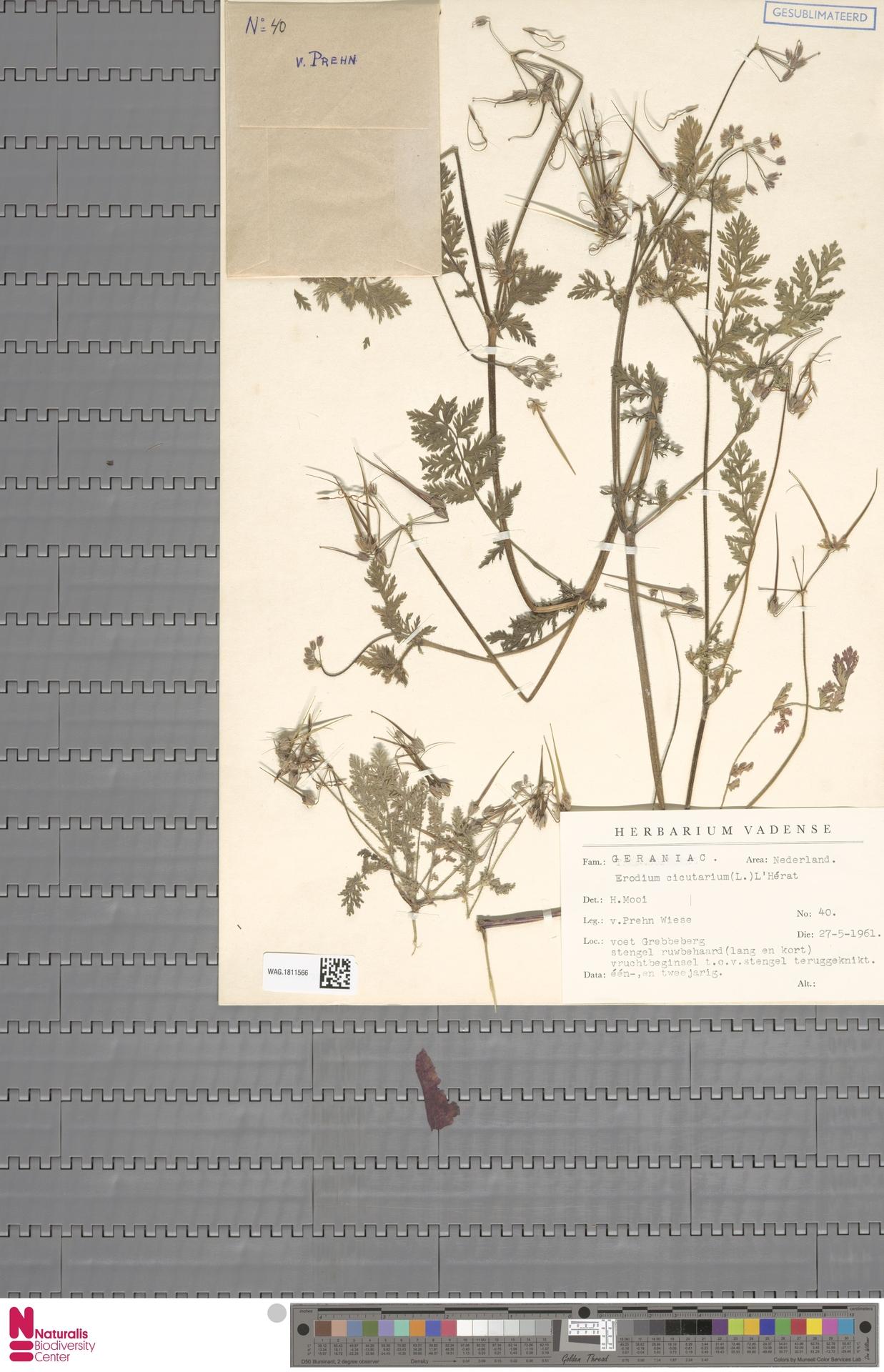 WAG.1811566   Erodium cicutarium (L.) L'Hér.