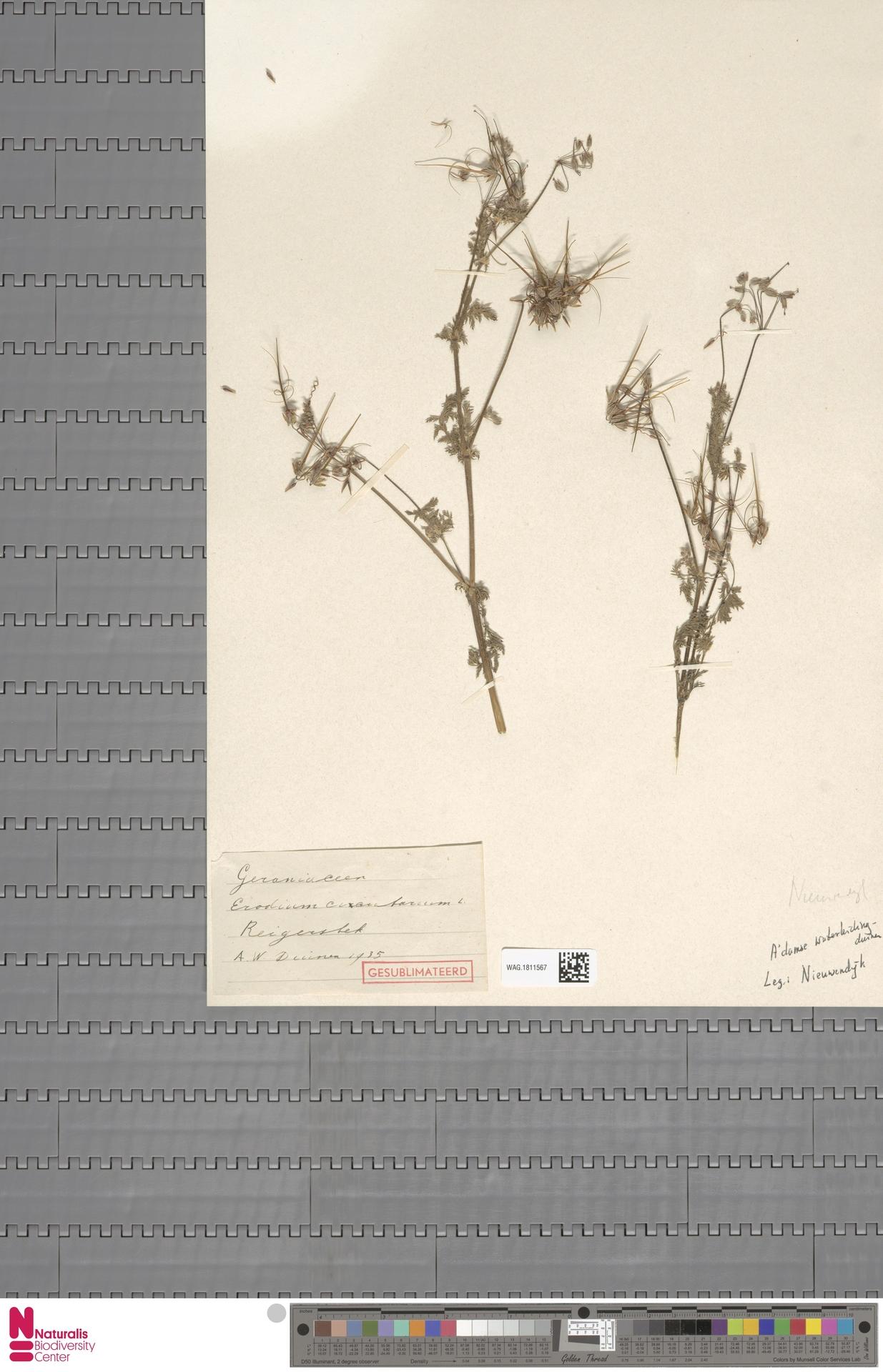 WAG.1811567 | Erodium cicutarium (L.) L'Hér.