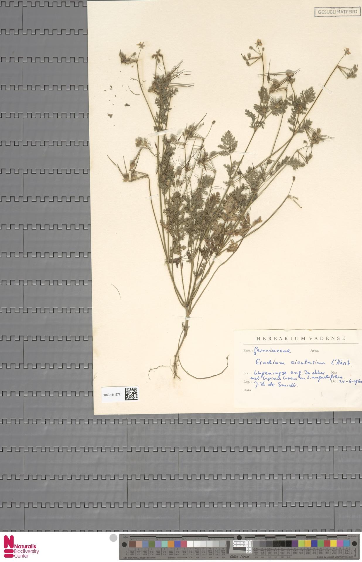 WAG.1811574 | Erodium cicutarium (L.) L'Hér.