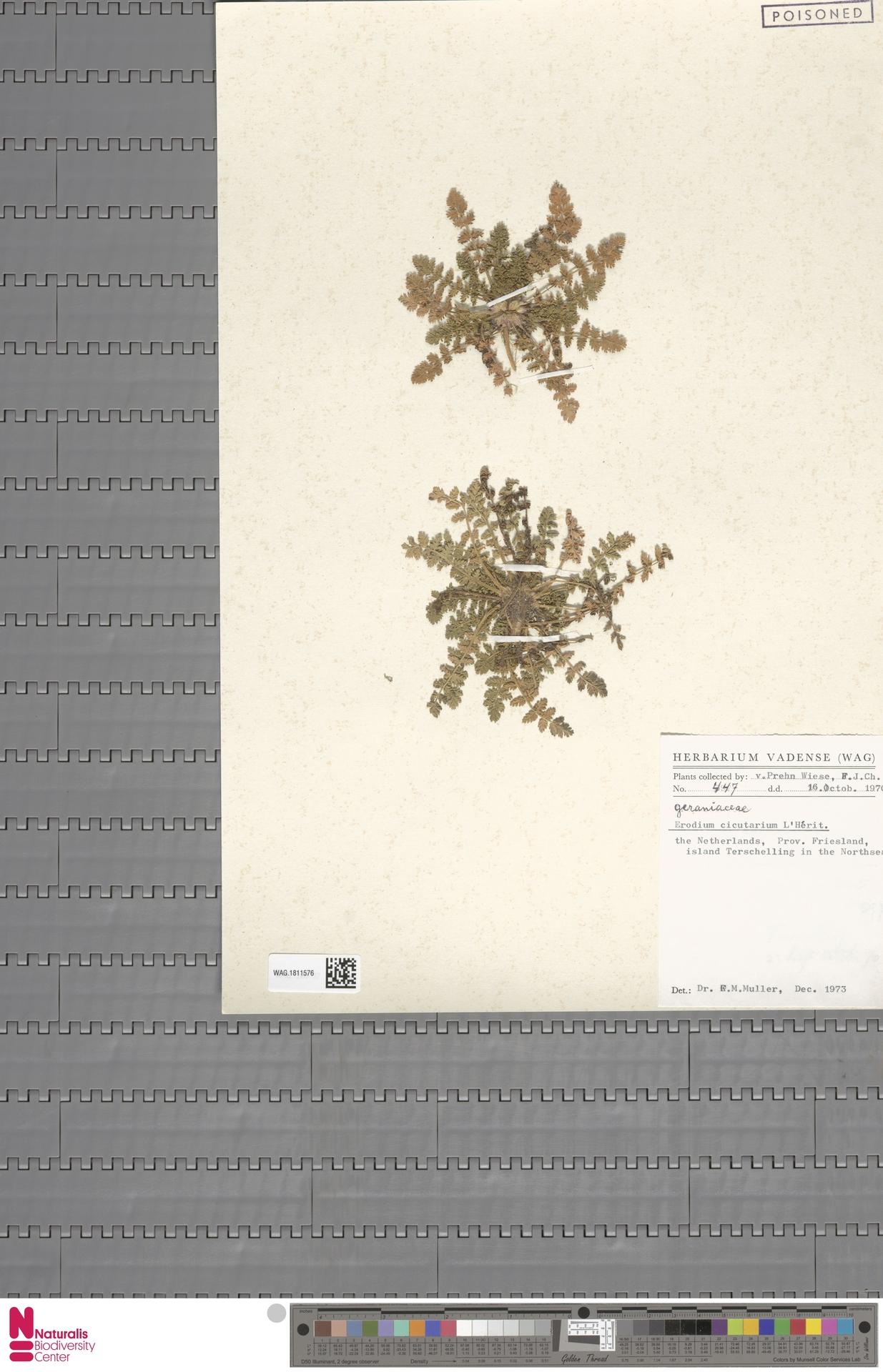 WAG.1811576 | Erodium cicutarium (L.) L'Hér.