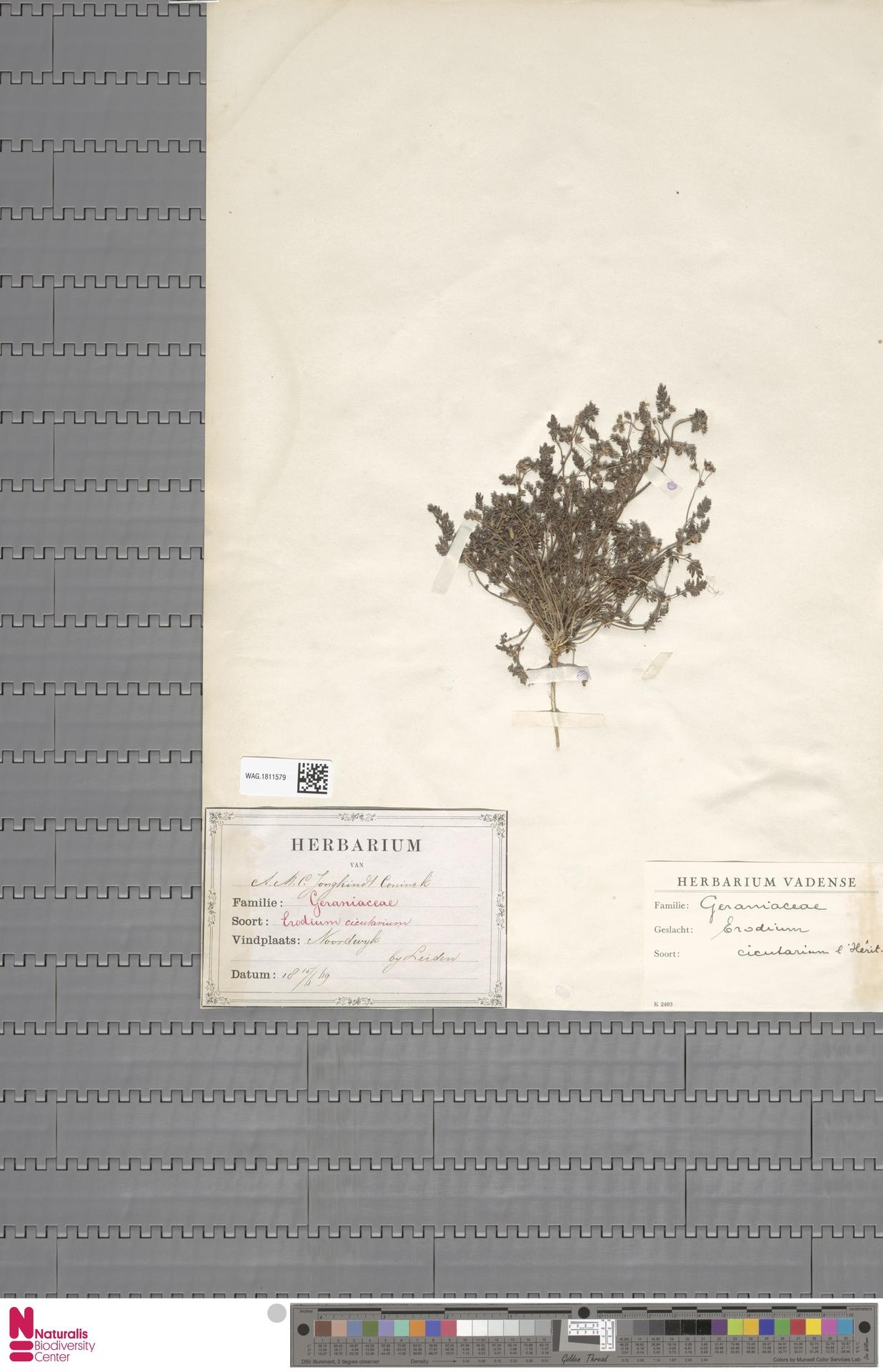 WAG.1811579 | Erodium cicutarium (L.) L'Hér.