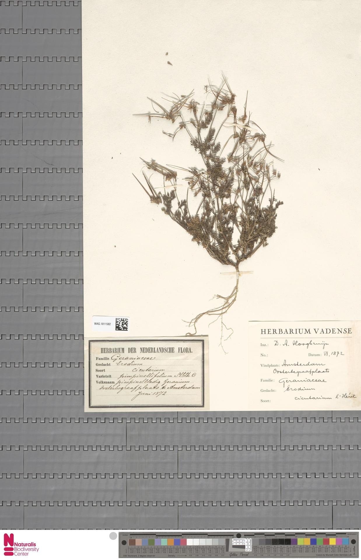 WAG.1811582 | Erodium cicutarium (L.) L'Hér.